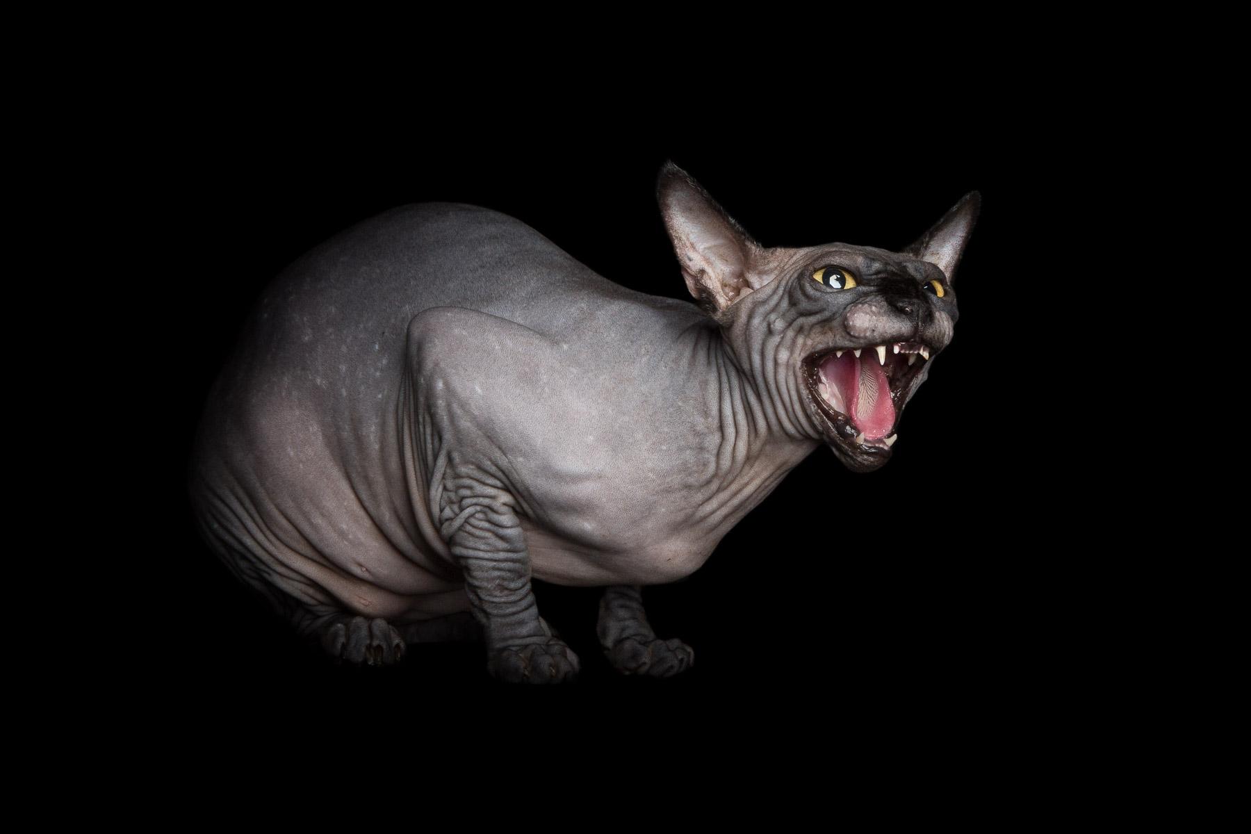 best-commercial-cat-photographer-sphynx-hissing-fine-art