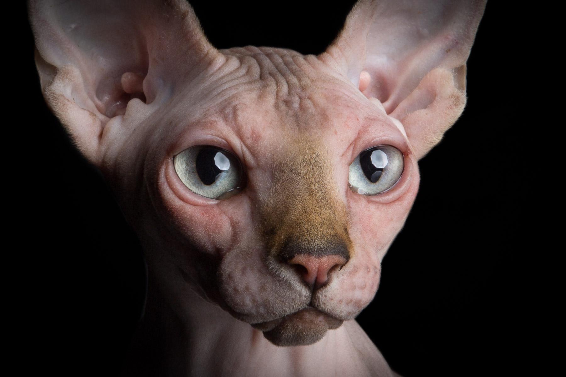 close-up-portrait-sphynx-hairless-cat-alicia-rius-animal-photographer.jpg
