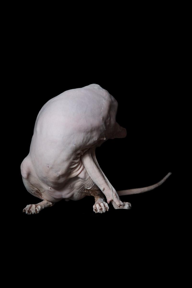 commercial-cat-photos-alicia-rius-sphynx-hairless-animal-photographer.jpg