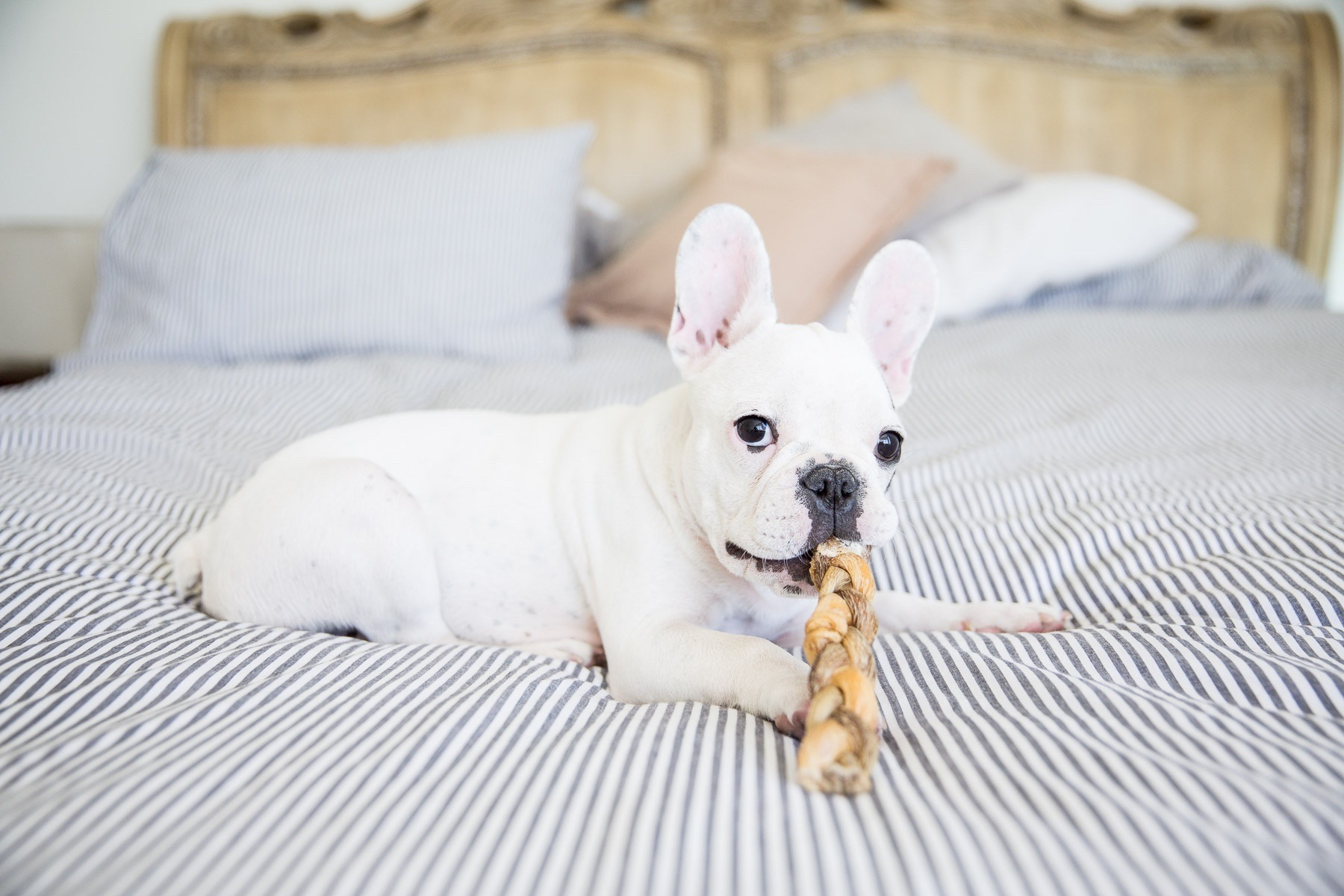 puppy-photography-dog-photographer-french-bulldog-with-treat.jpg