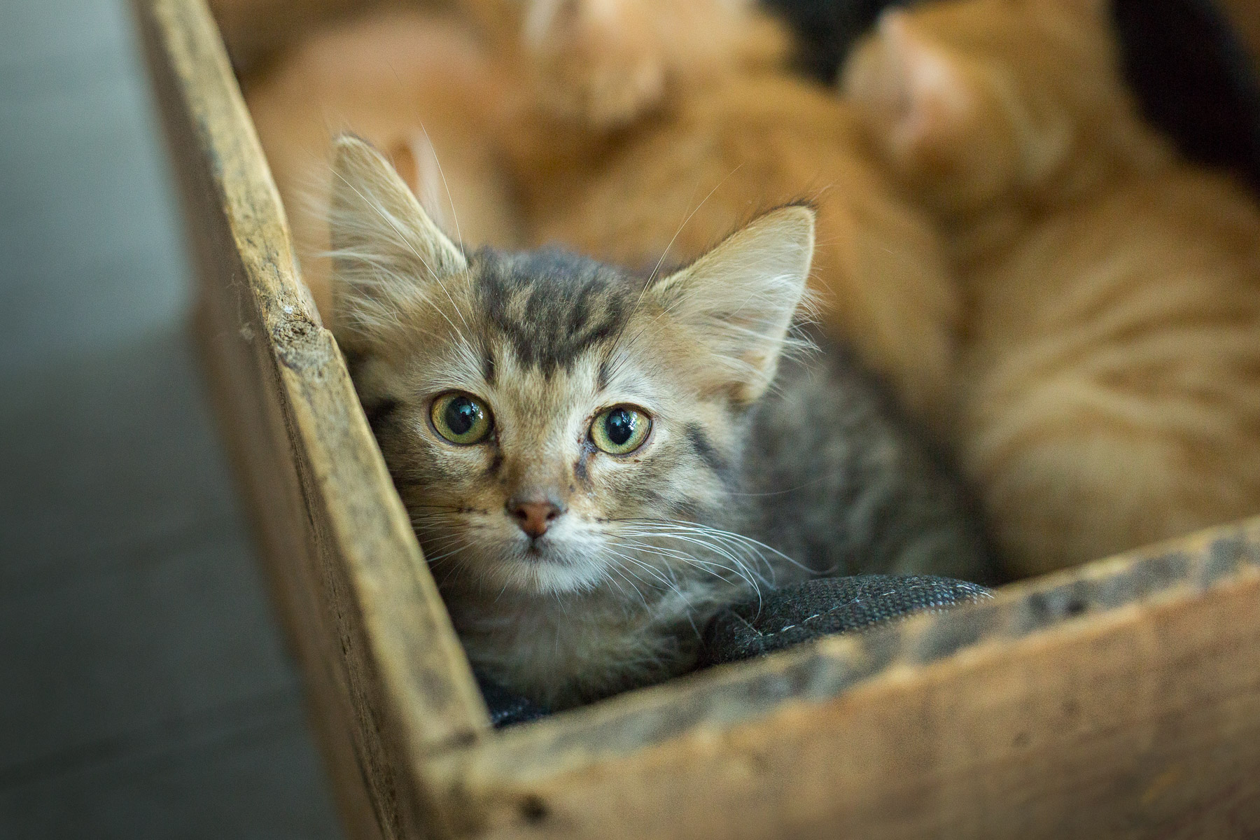 little-cat-kitty-looking-camera-cat-photography.jpg