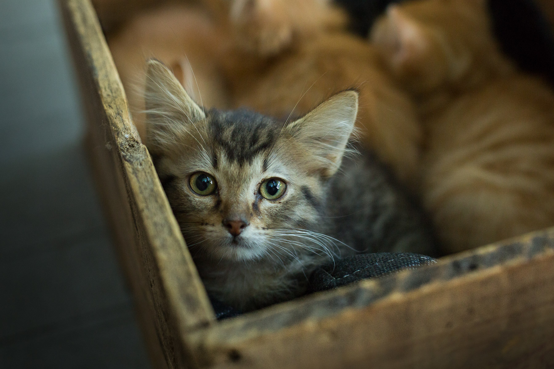box-with-cat-litter-baby-cats-animal-photographer-cat-looking-camera.jpg