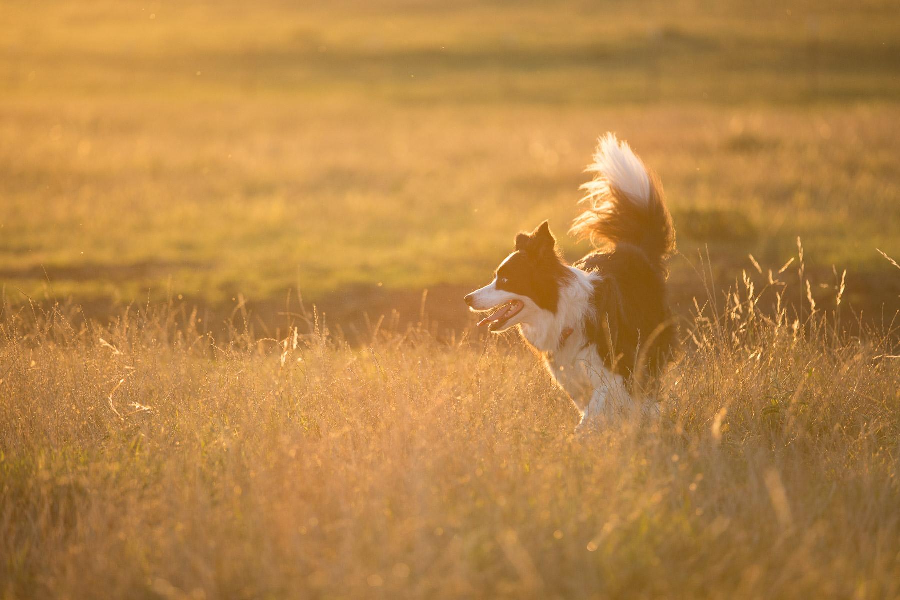 dog-border-collie-running-field-sunset-dog-photography.jpg