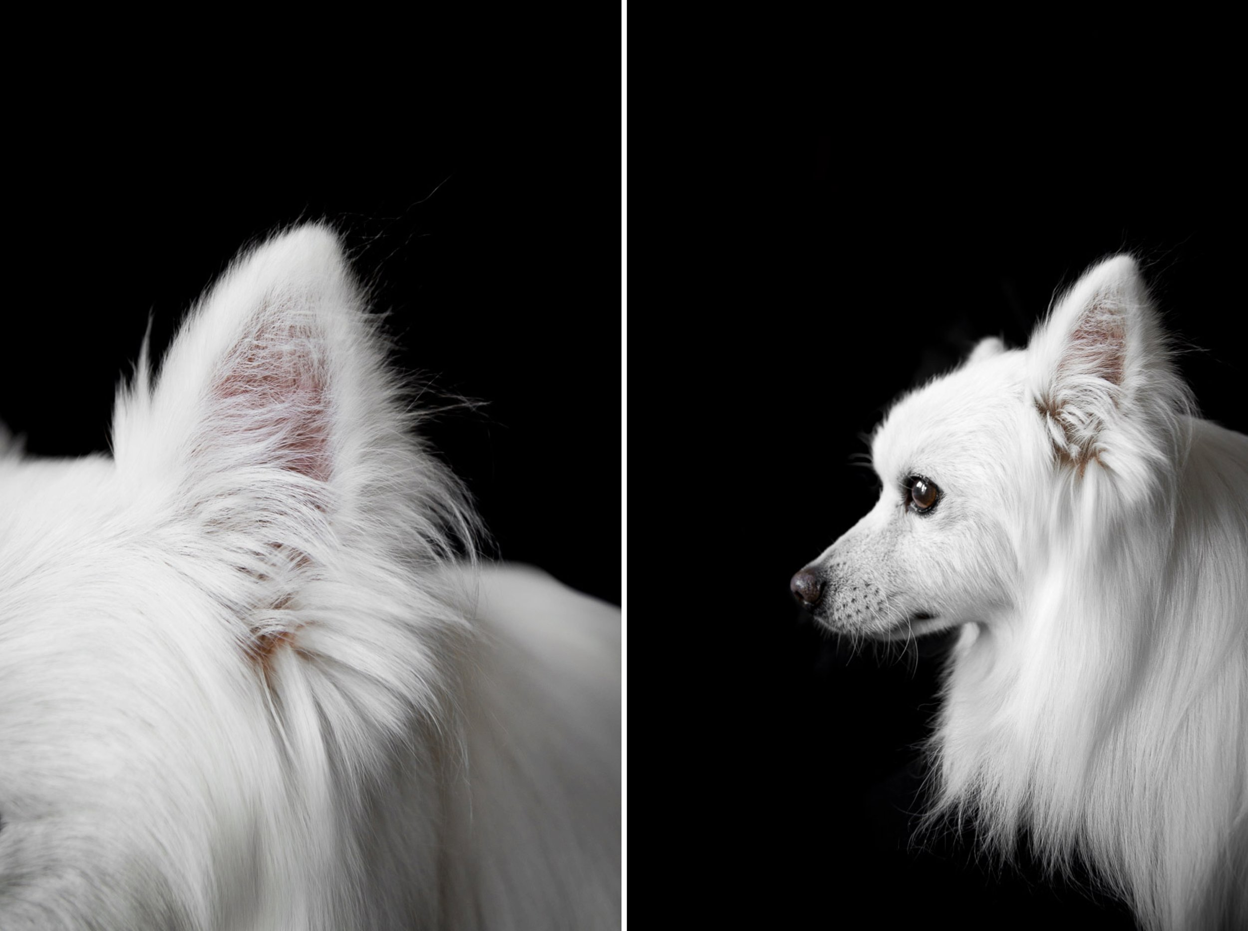 american-skimo-profile-dog-portrait-dog-photographer.jpg