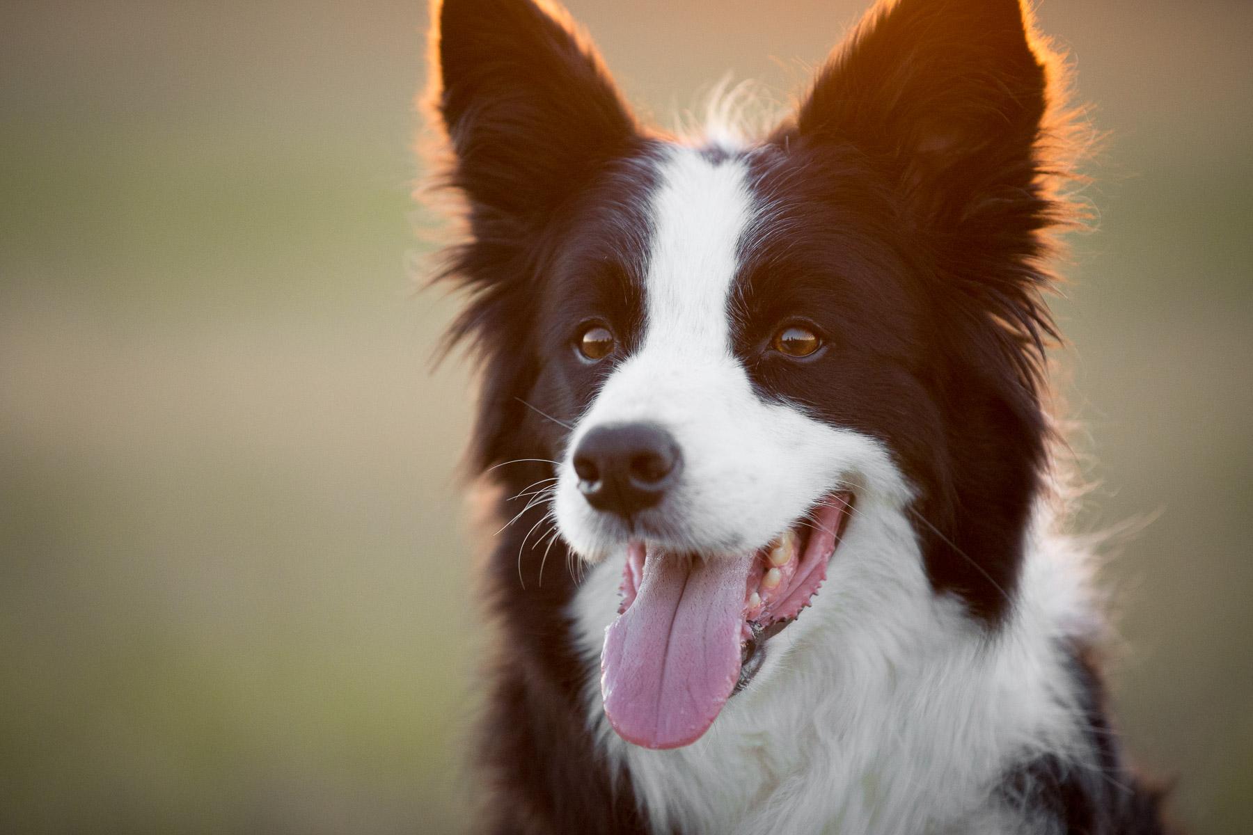 natures-recipe-border-collie-dog-photo-dog-portrait-photography-closeup.jpg