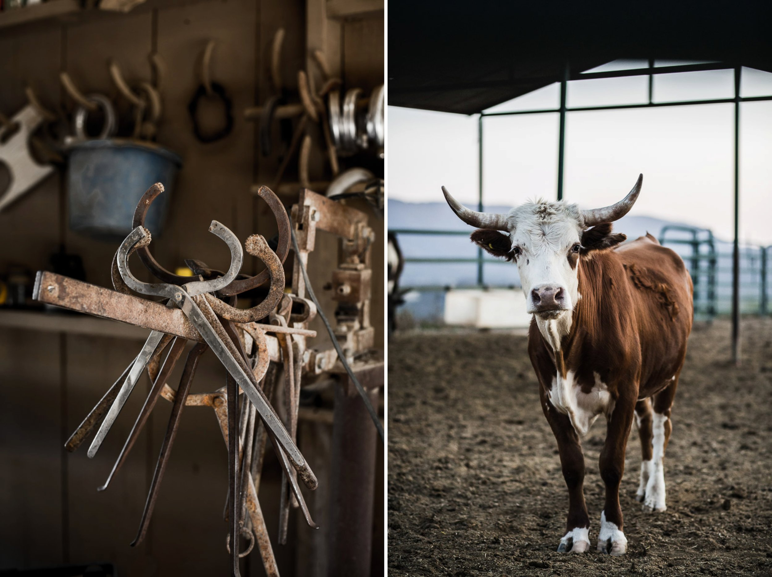 farm-photos-cow-portrait.jpg