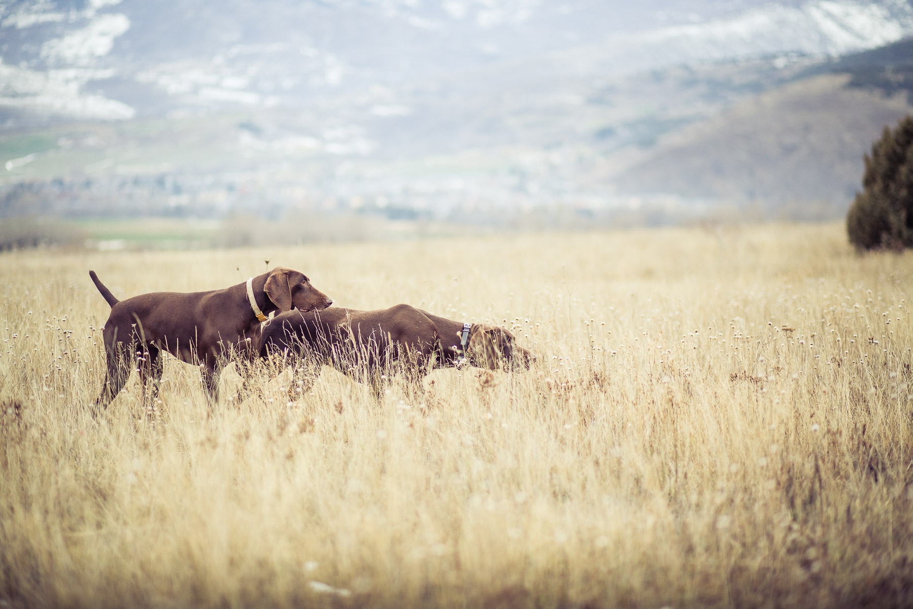 2dog-lifestyle-photographer-hunter-dogs-fetching-pheasants-nature-outdoors-bloodhounts-.jpg