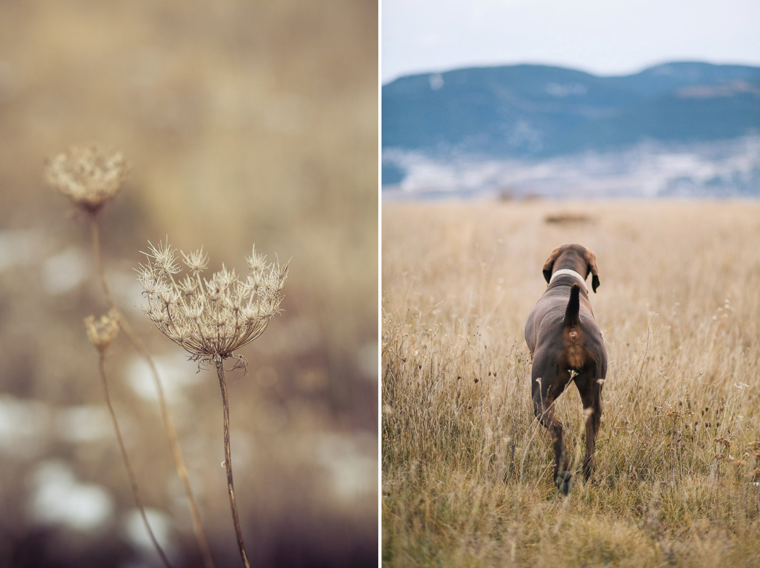dog-lifestyle-photographer-hunter-dogs-fetching-pheasants-nature-outdoors-bloodhounts-5.jpg