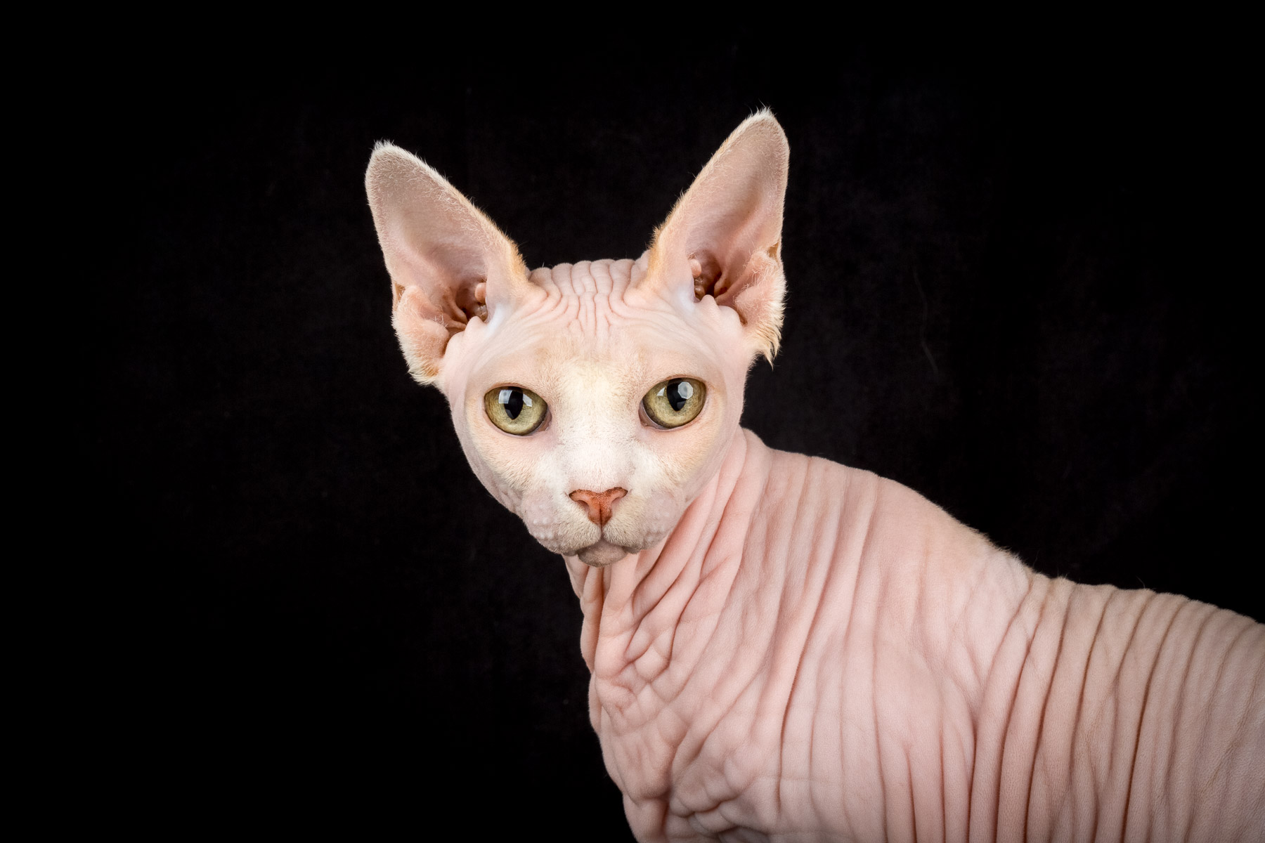 6Sphynx-cat-hairless-cat-photographer-pets-alicia-rius.jpg