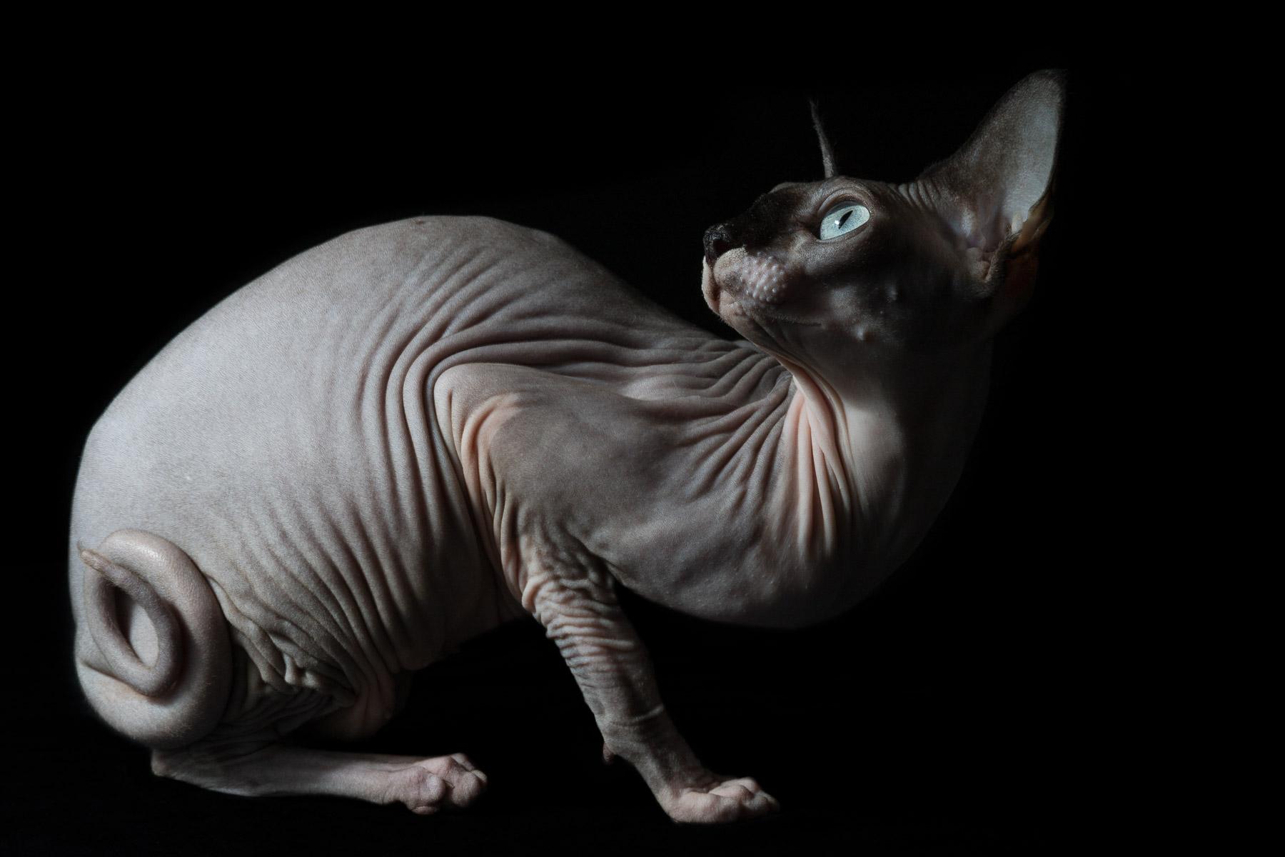 9Sphynx-cat-hairless-cat-photographer-pets-alicia-rius.jpg