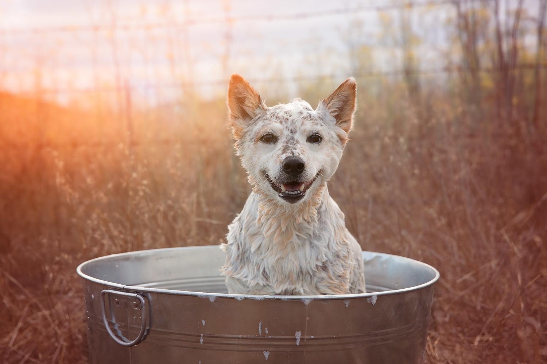 cattle-dog-having-a-bath-outdoors-dog-animal-photographer-sunset-happy-pet.jpg