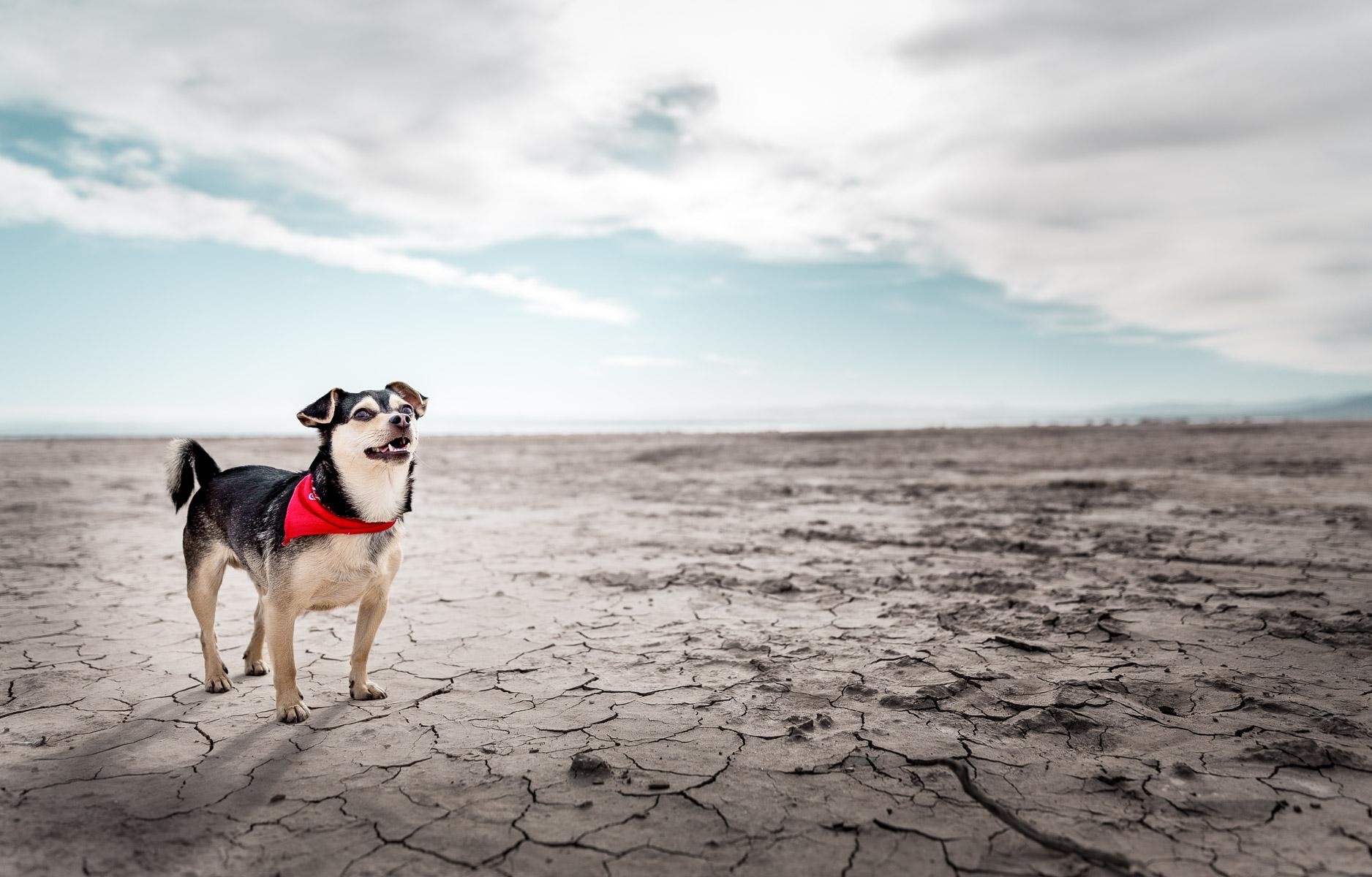 chihuahua-mix-mutt-dog-photo-salton-sea-dog-photographer.jpg