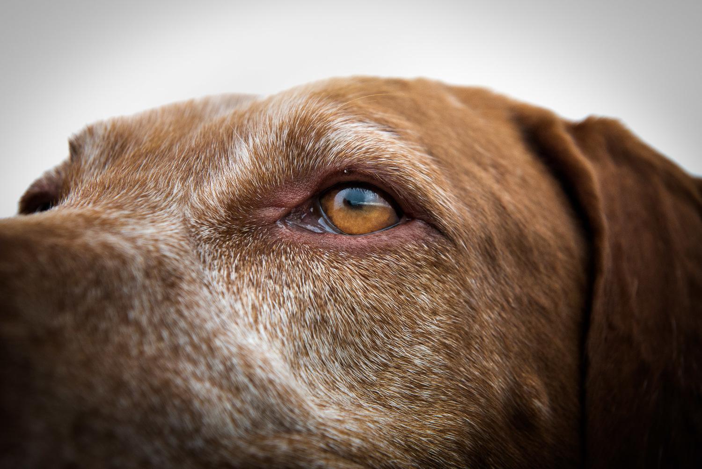 close-up-eye-viszla-breed-dog-photography.jpg