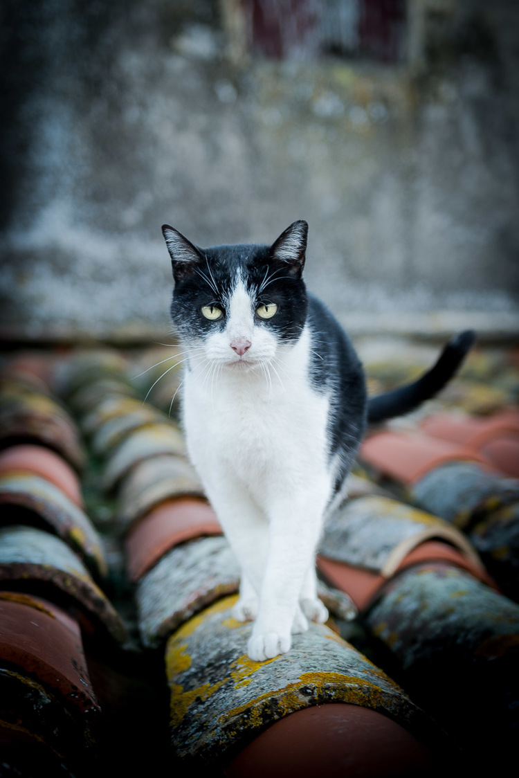 cat-walking-on-roof-photos-cat-photographer.jpg