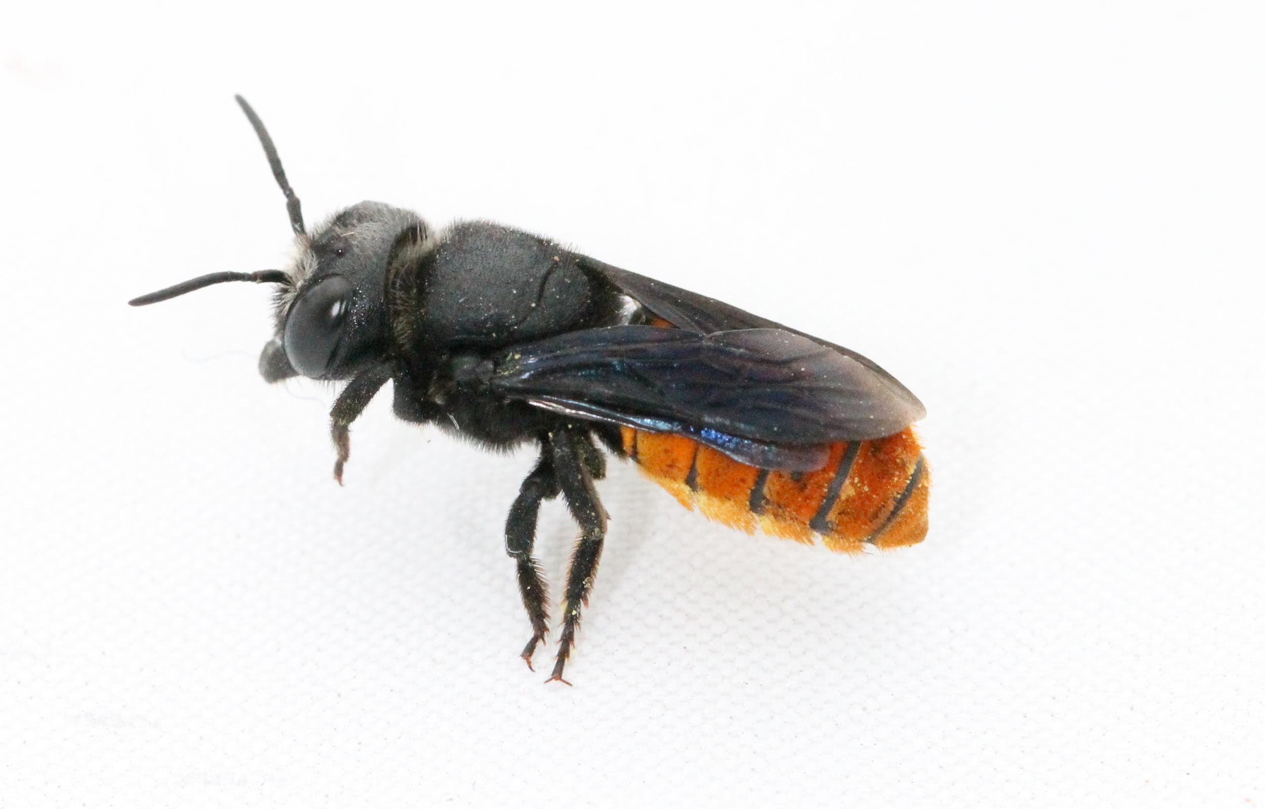 fire tailed resin bee.jpg