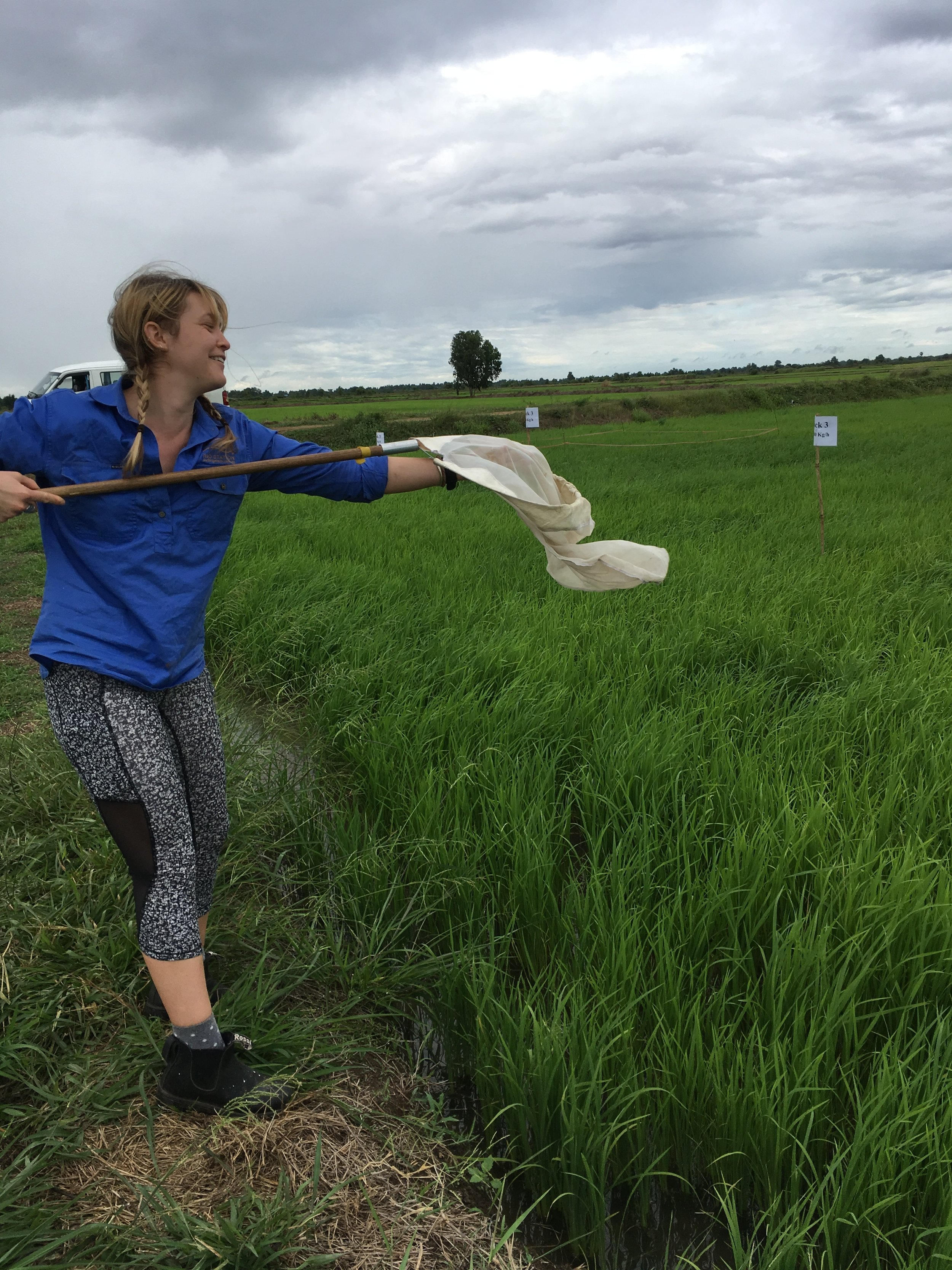 - Surveying insects on Cambodian rice fields