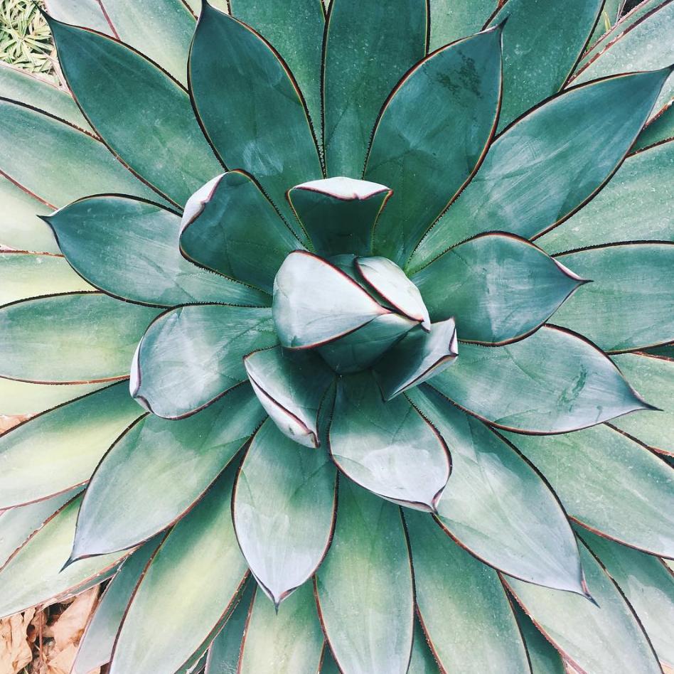 succulent-venice