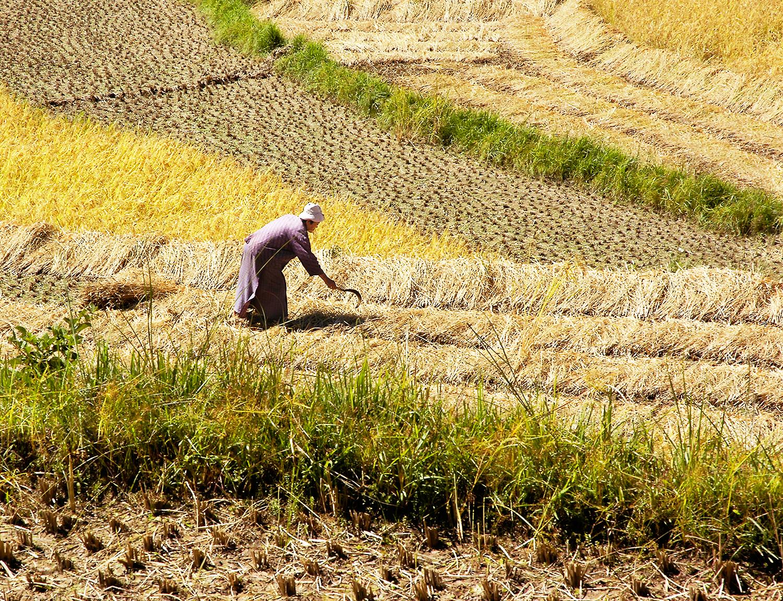 Harvest, central Bhutan