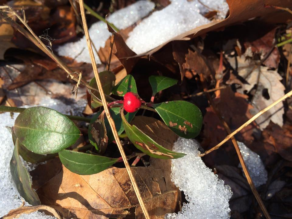 Wintergreen in the snow