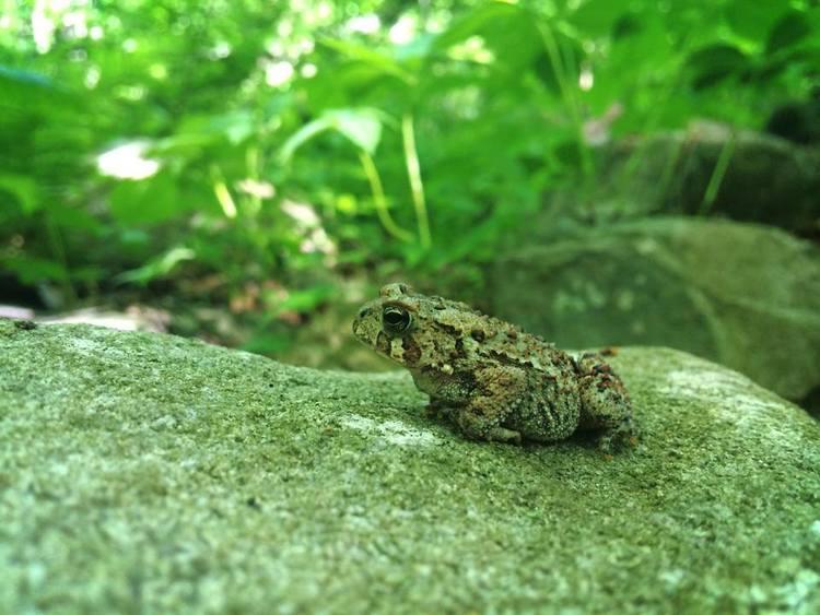 A frog at Merrimack Landing