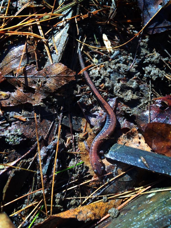 Salamander at Merrimack Landing