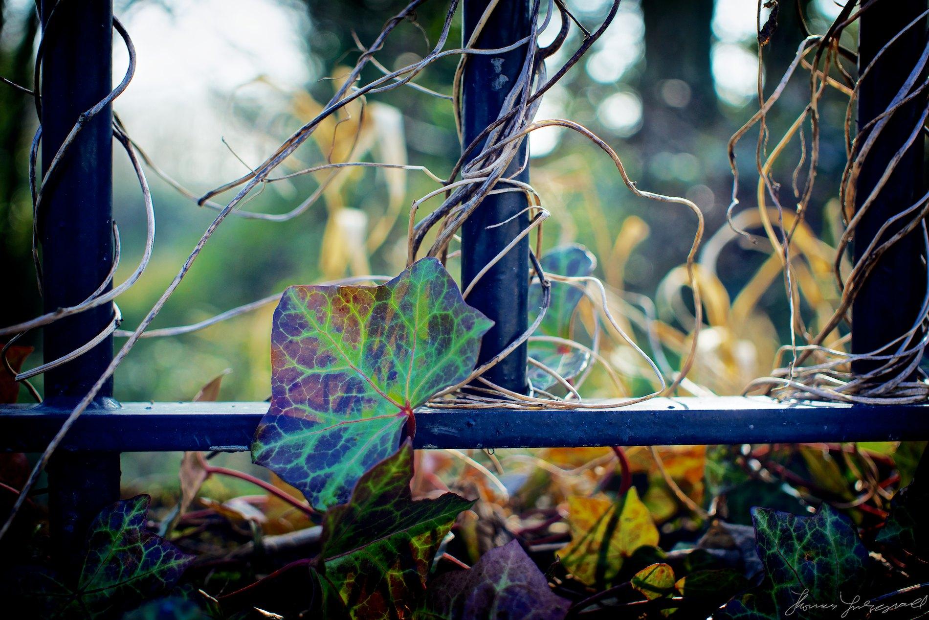 Multicoloured Ivy