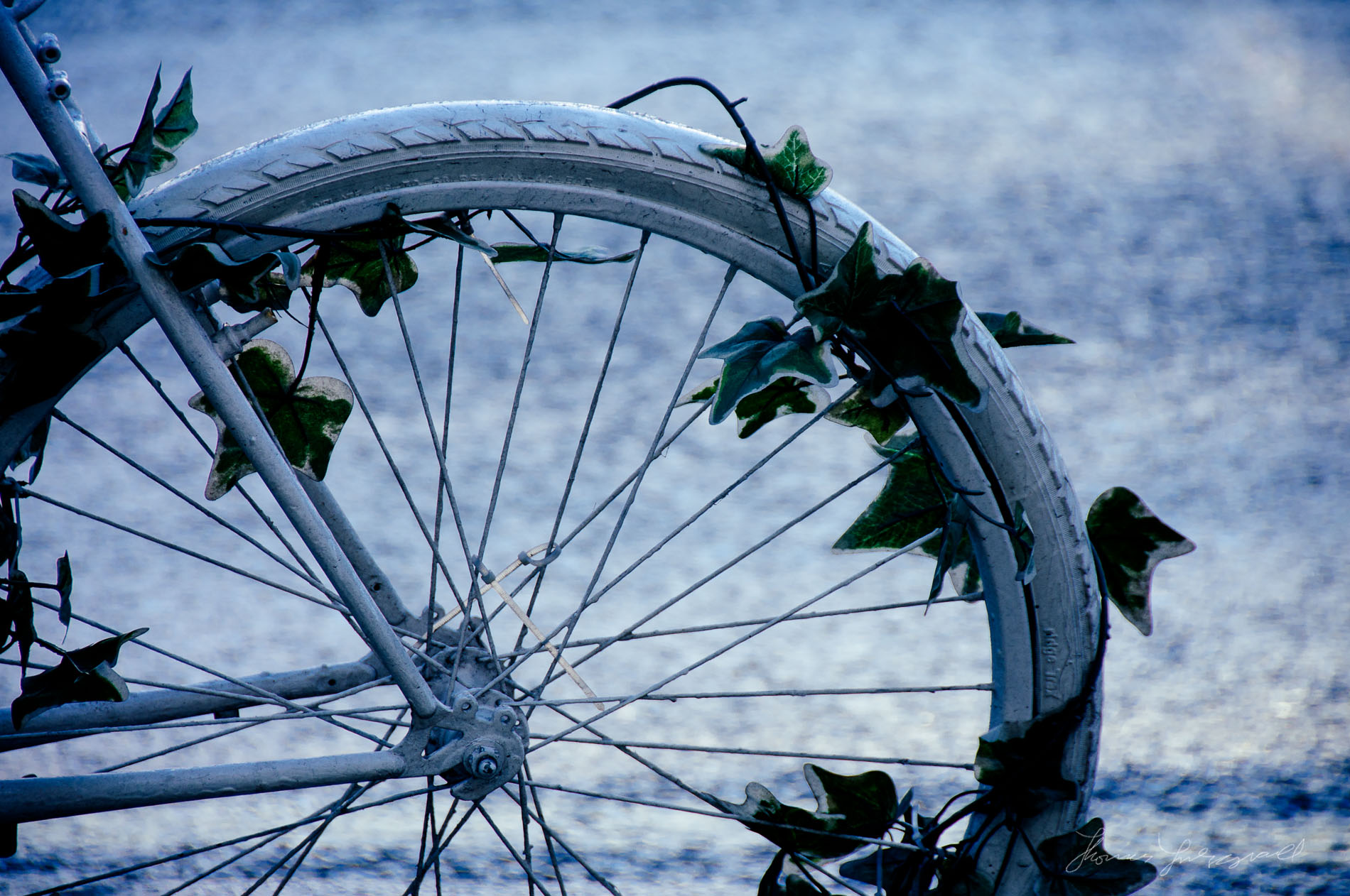 Photo of bike wheel wrapped in ivy