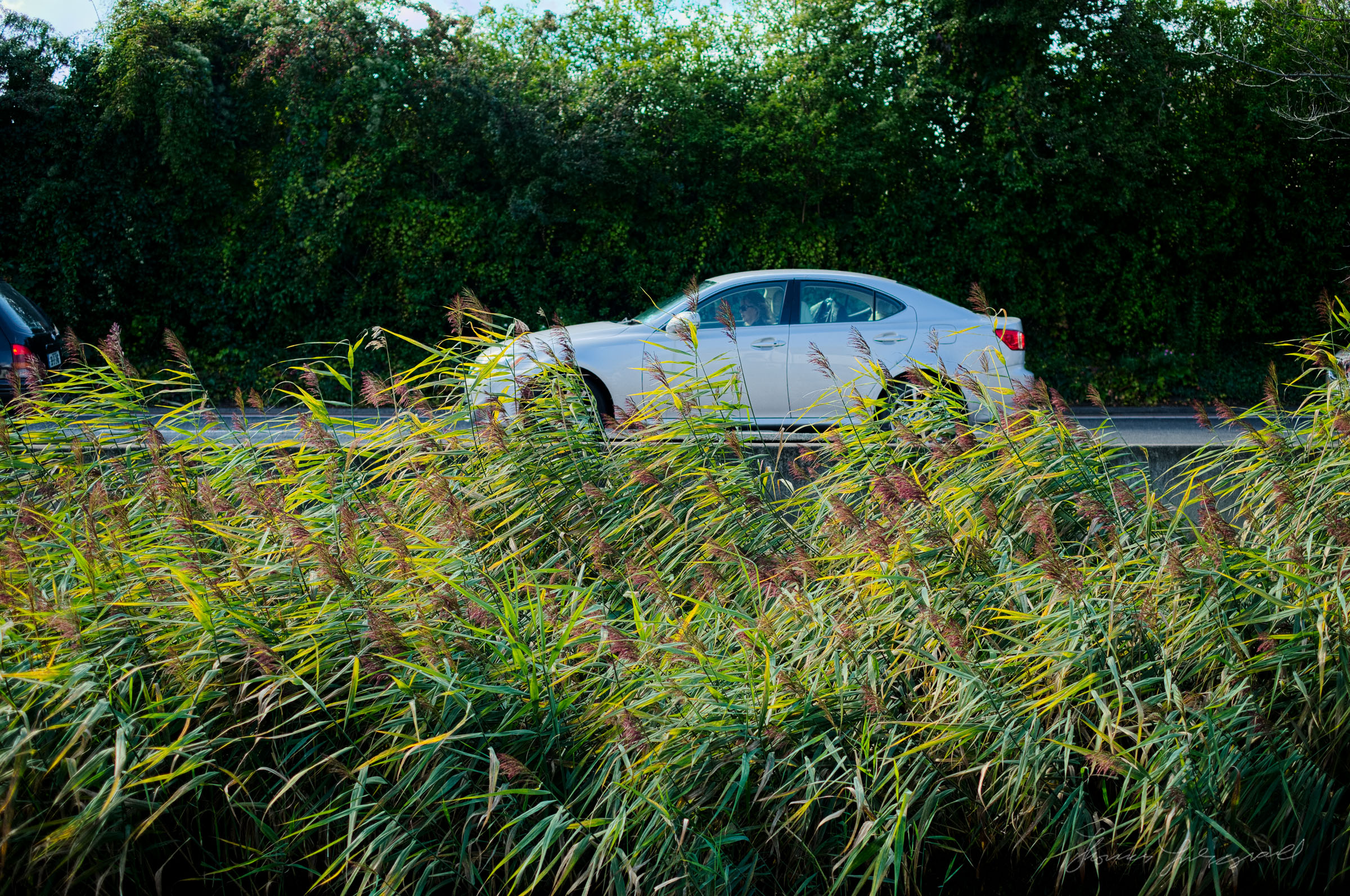 Car through the reeds