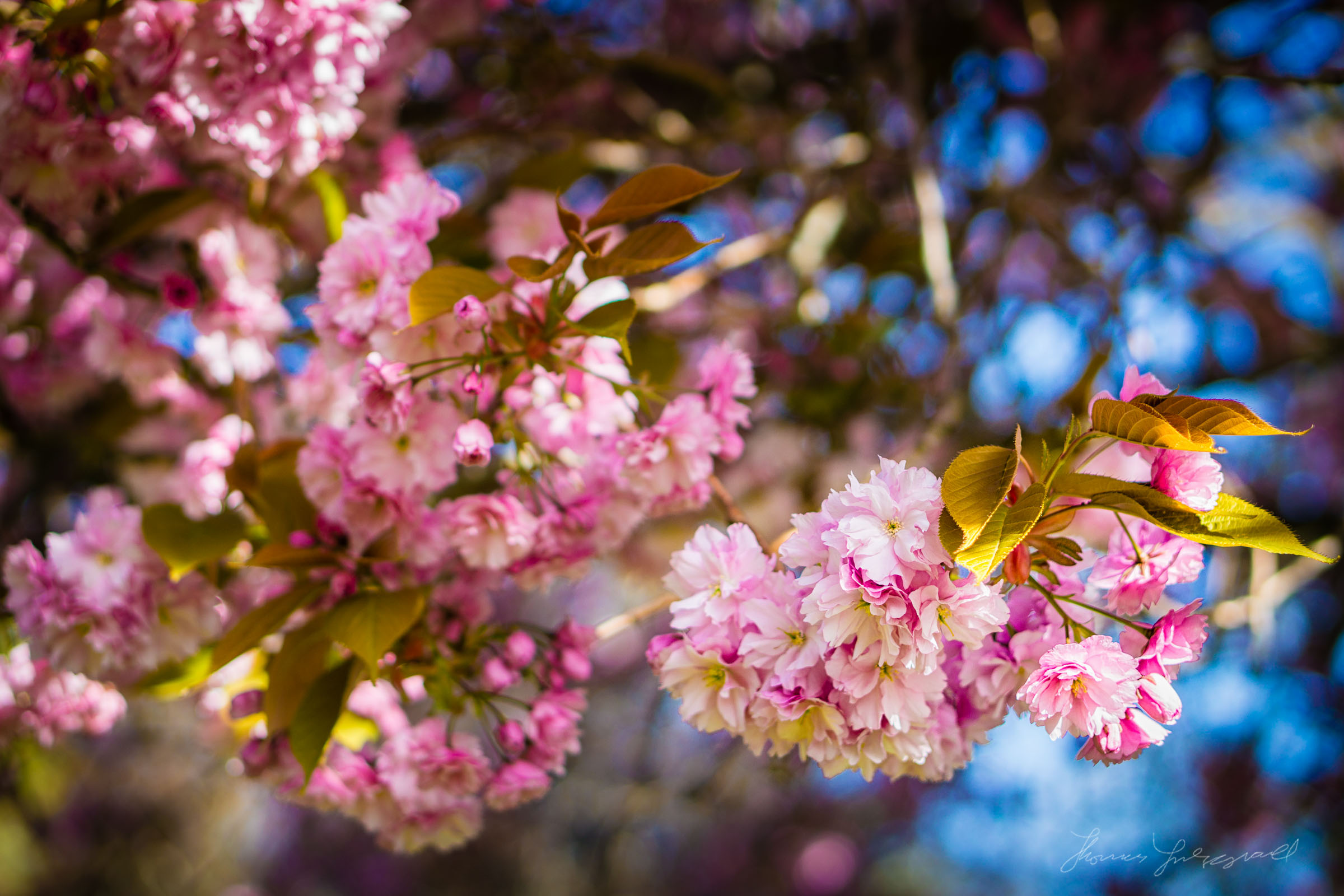 Cherry Blossoms on a Cherry Tree Close Up