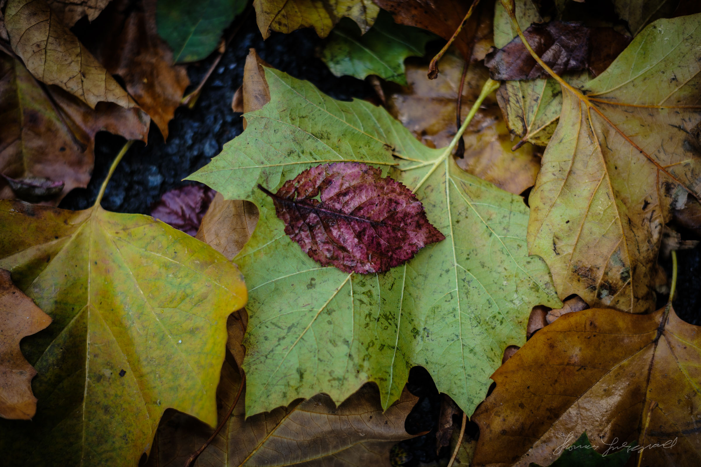A single red leaf stands out on the background of other fallen autumn leaves