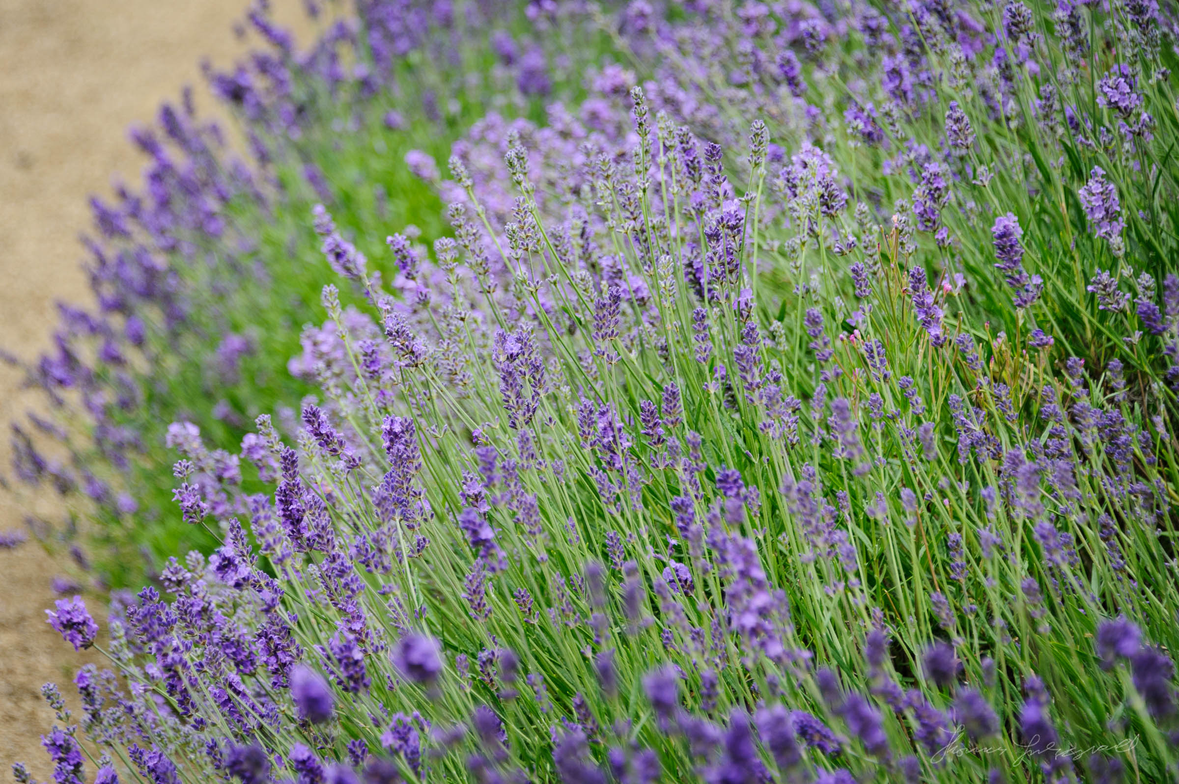 Lavender growing in a garden