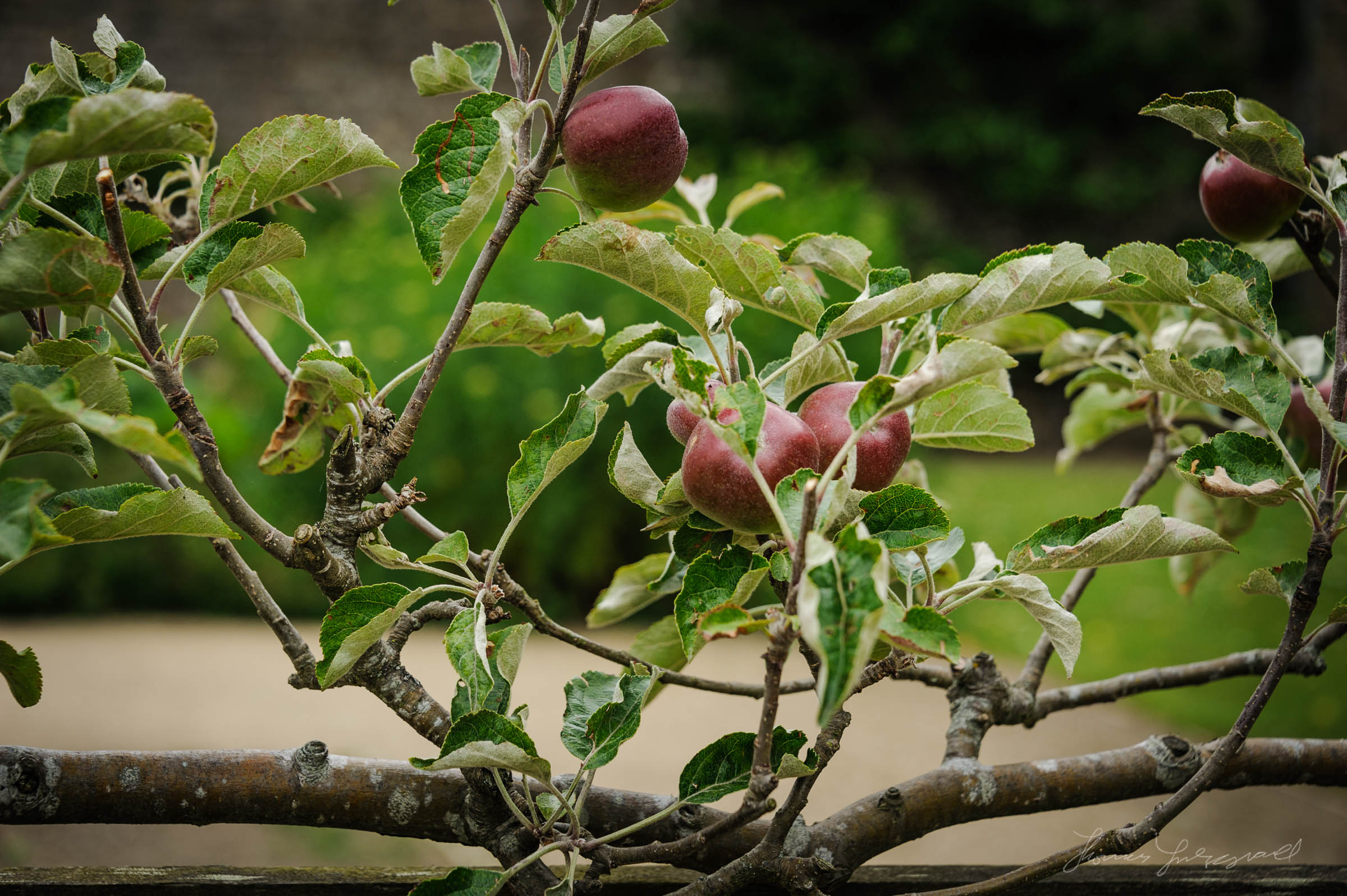 Apple Trees and young apples