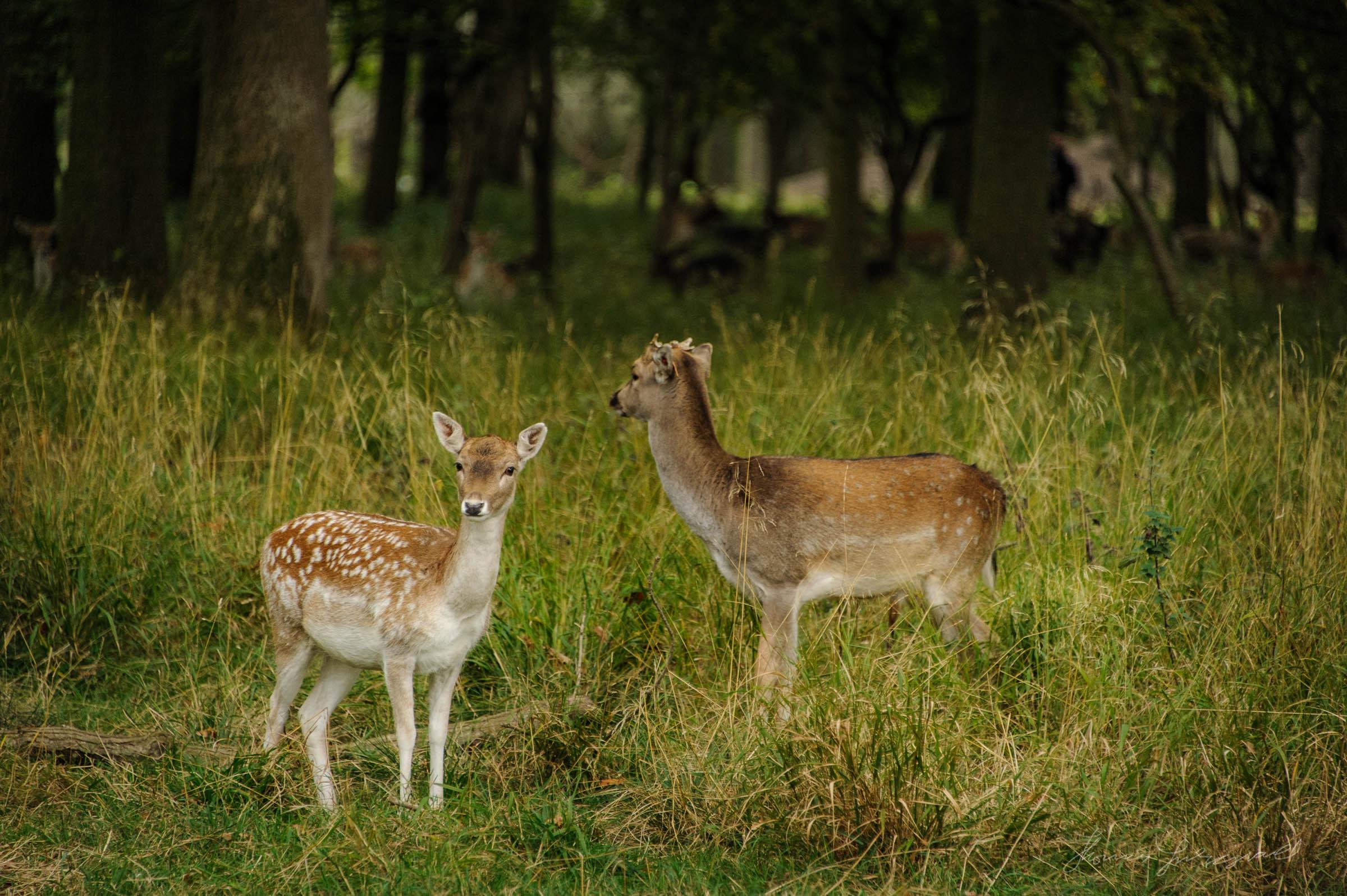 Deer in Dublin's Phoenix Park