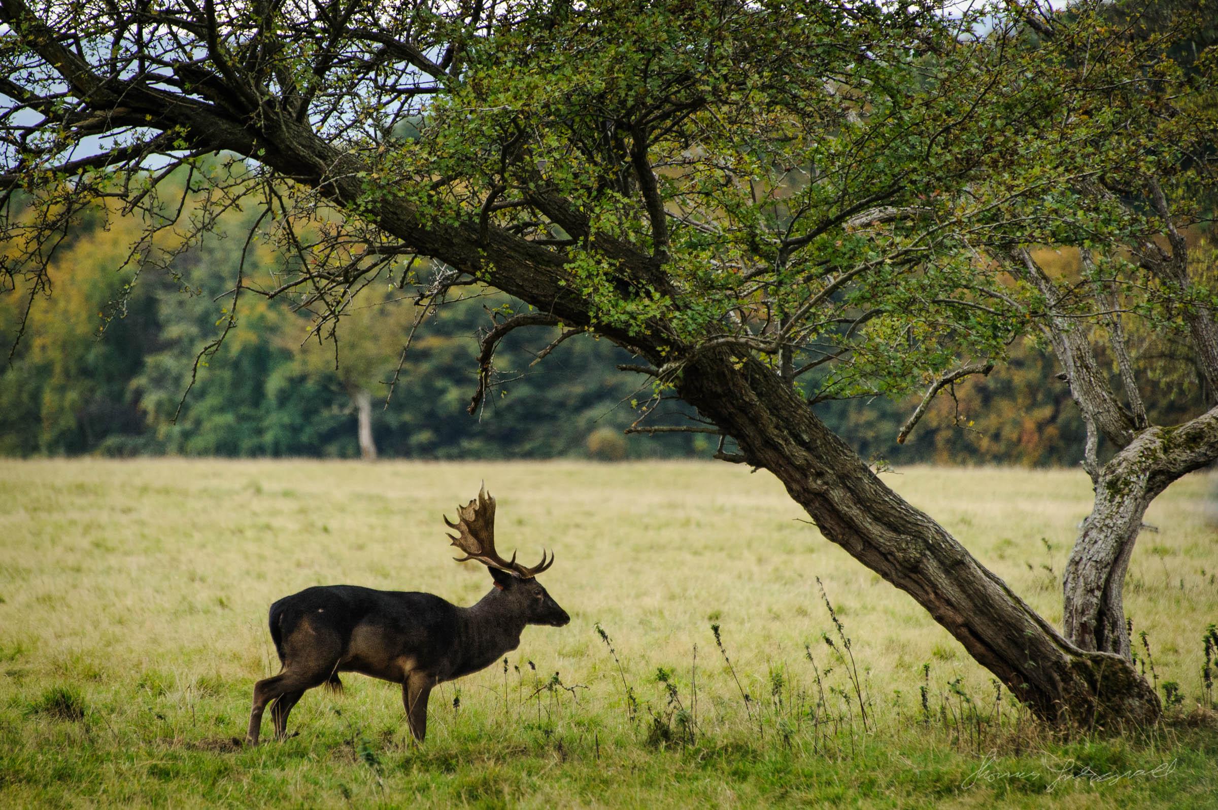 Pheonix-Park-Deer-04.jpg