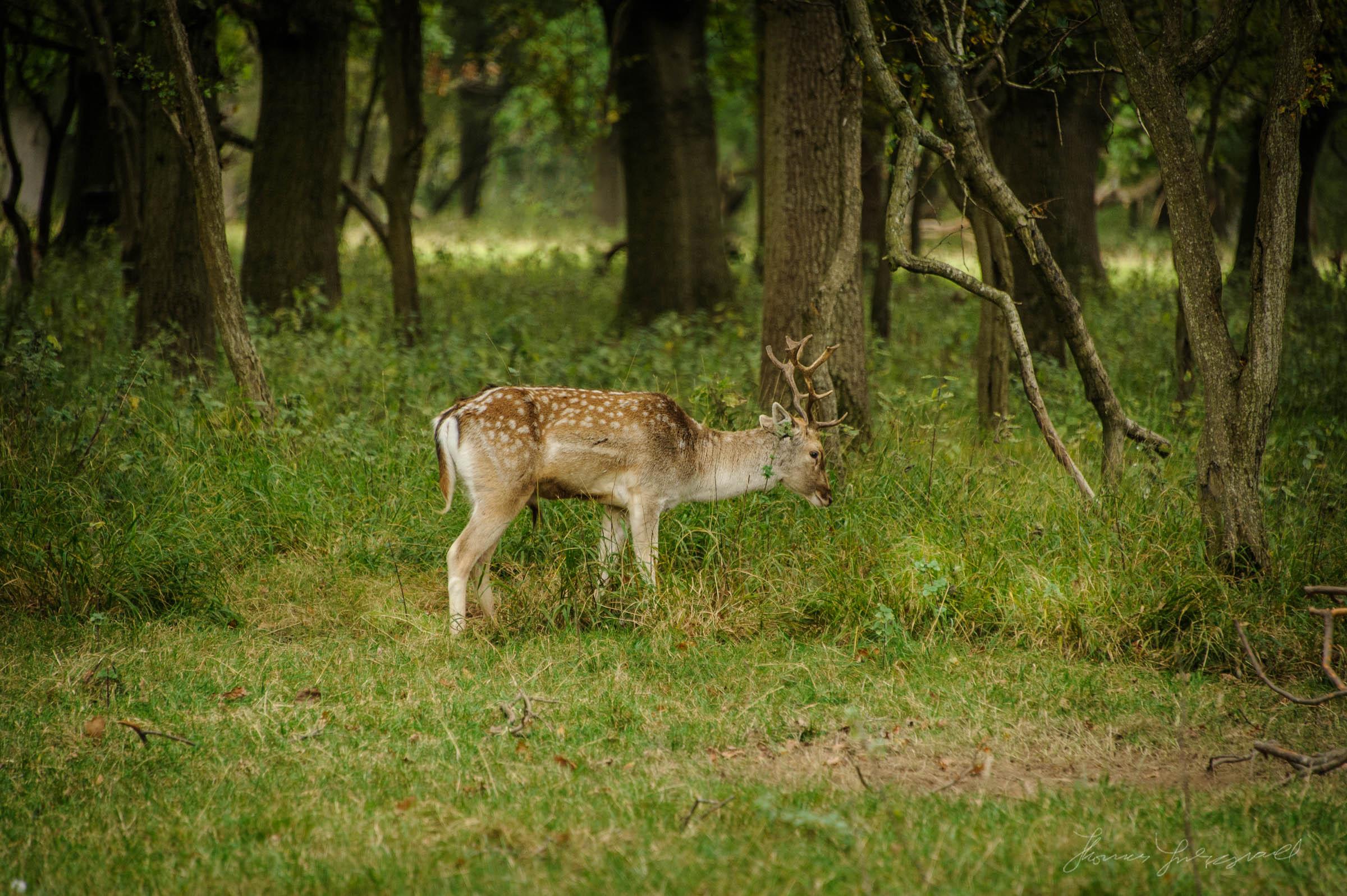 Pheonix-Park-Deer-07.jpg