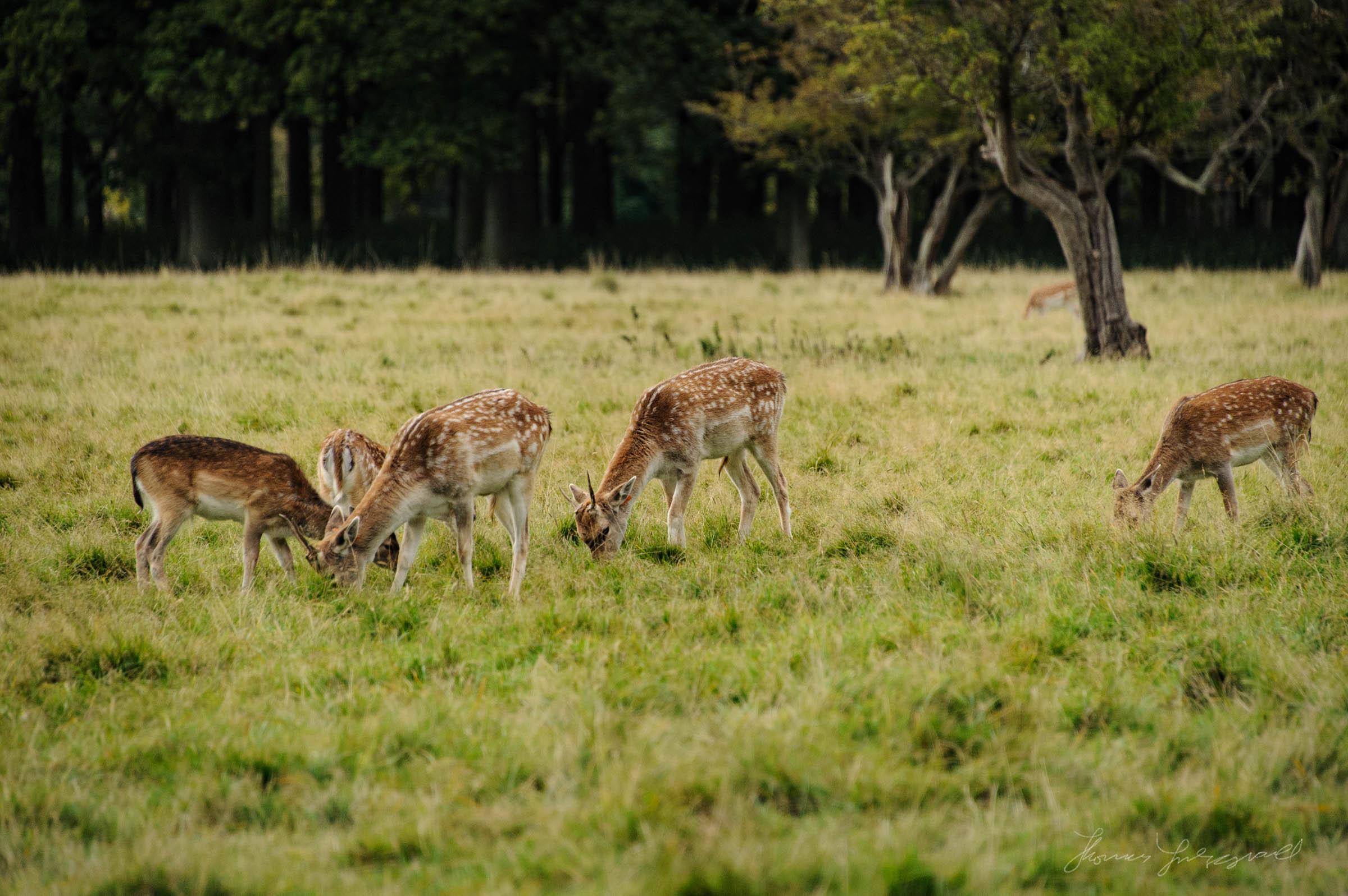 Pheonix-Park-Deer-10.jpg
