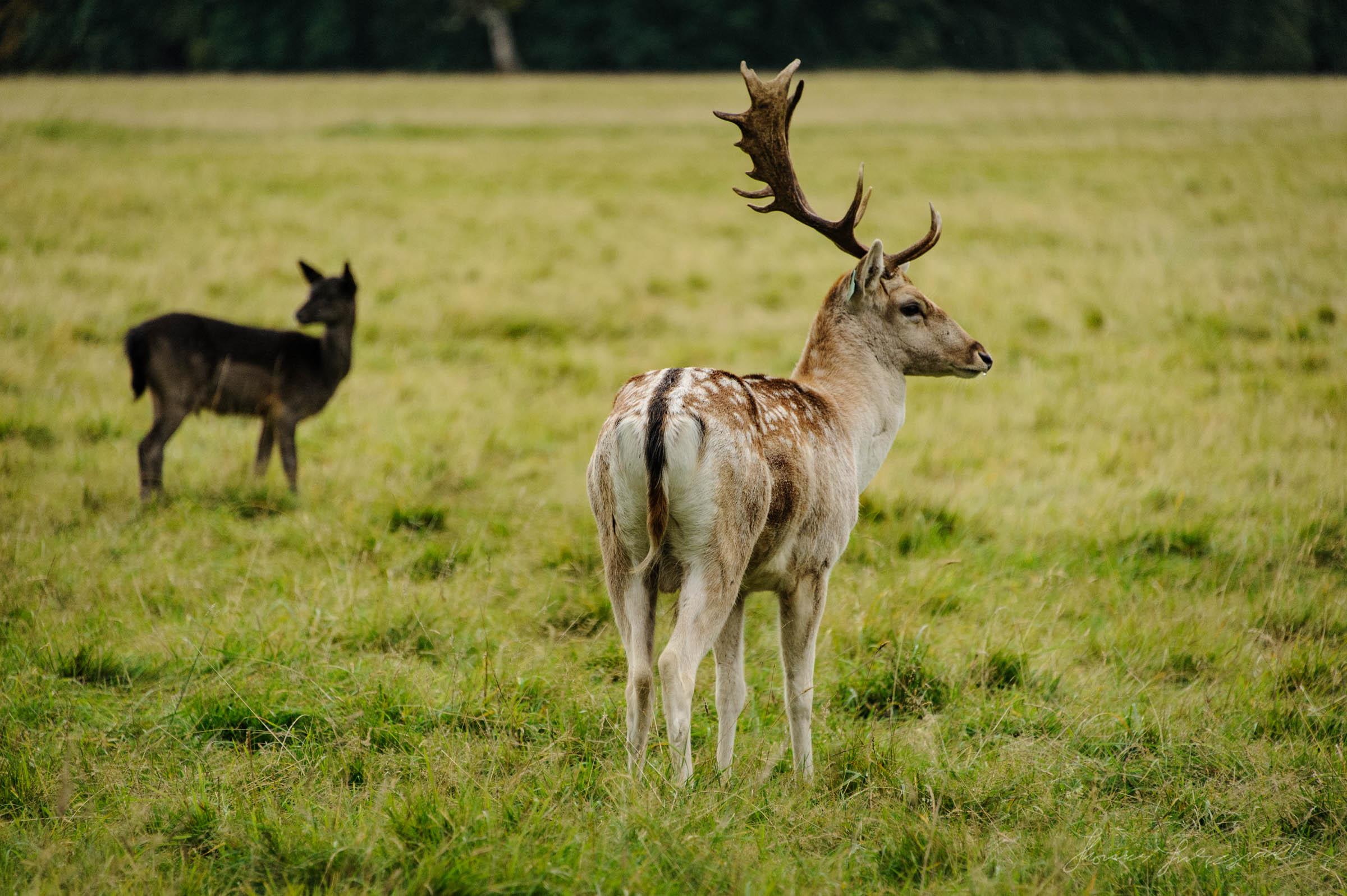 Pheonix-Park-Deer-12.jpg
