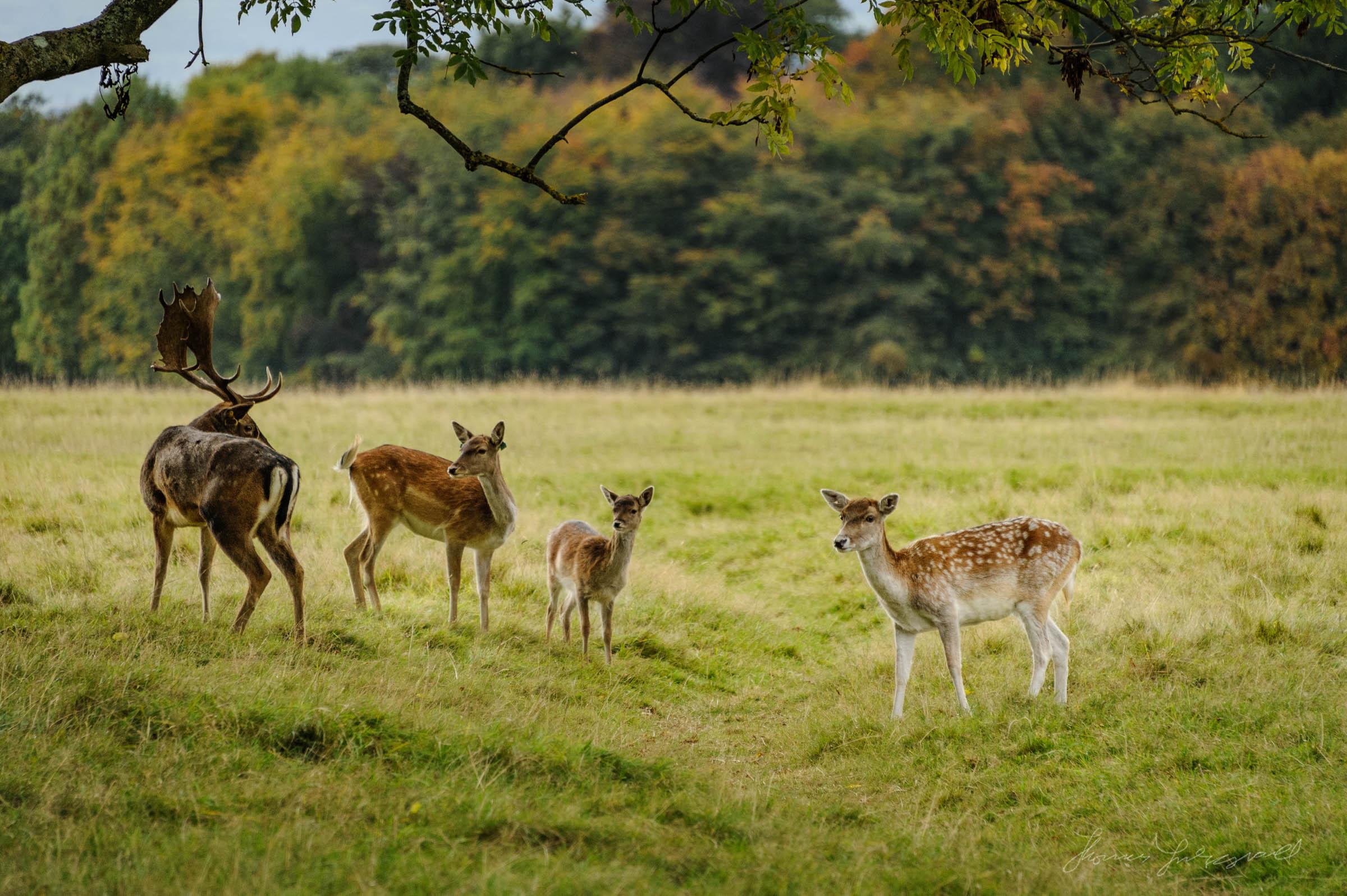 Pheonix-Park-Deer-21.jpg
