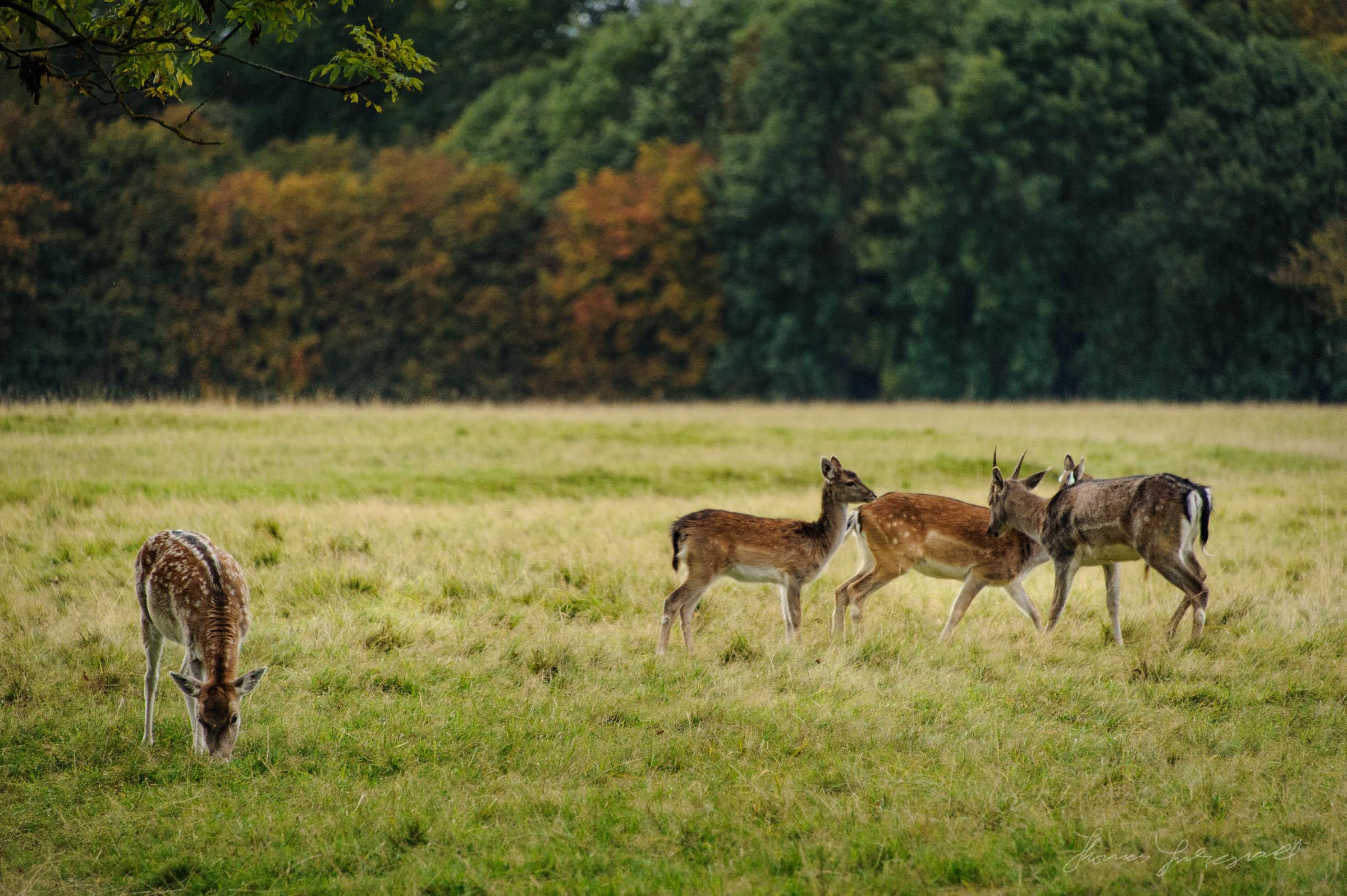 Pheonix-Park-Deer-24.jpg