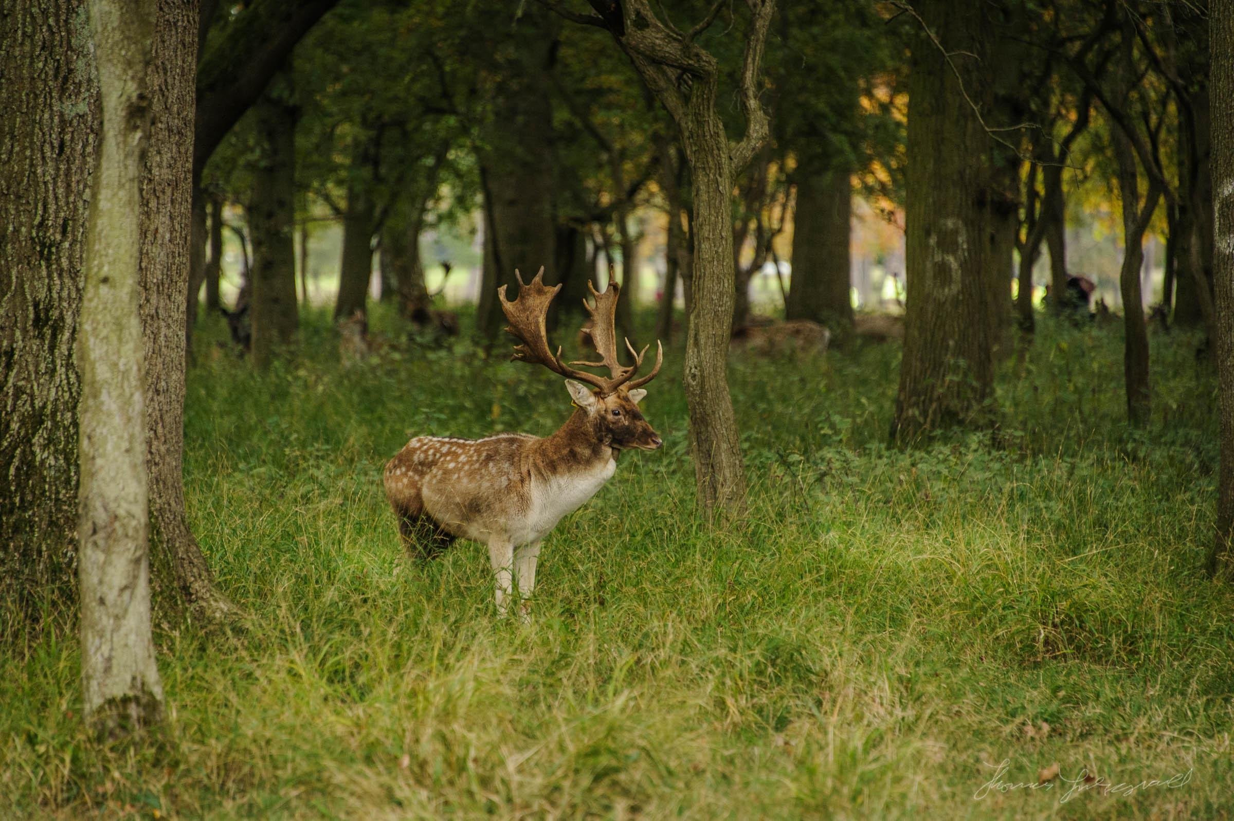 Pheonix-Park-Deer-28.jpg