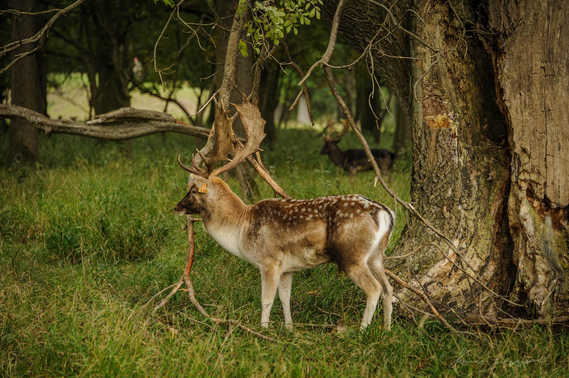 Pheonix-Park-Deer-27.jpg