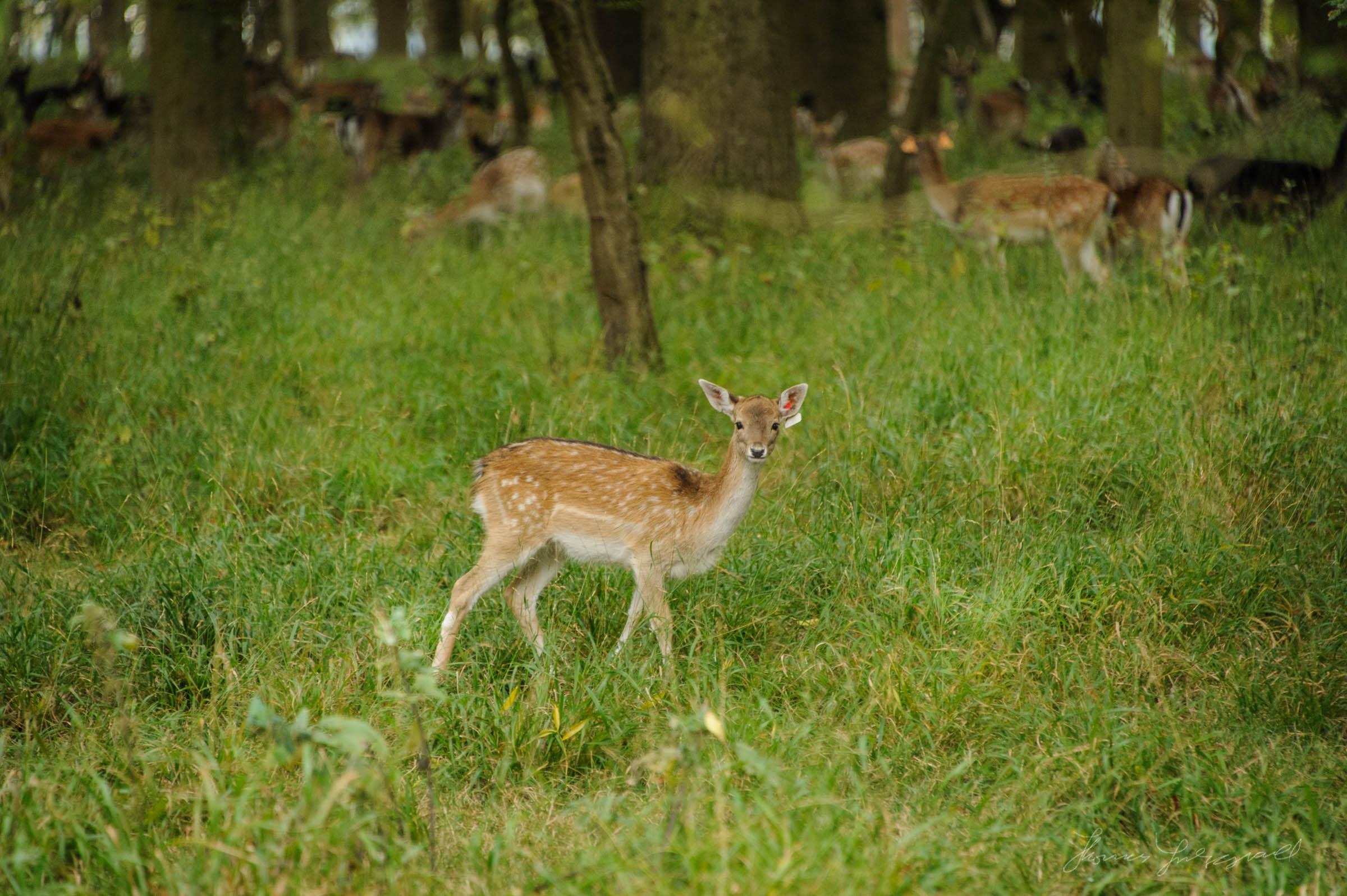 Pheonix-Park-Deer-32.jpg