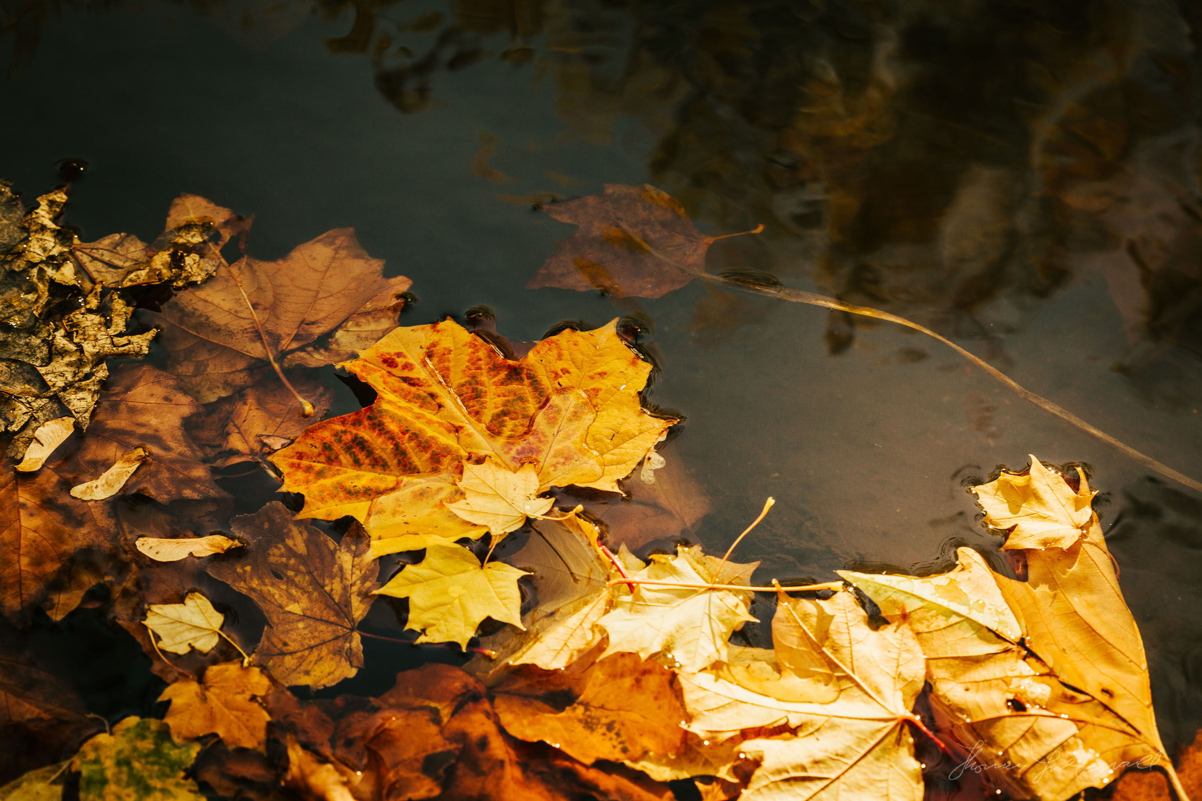 Autumn leaves floating on the surface of the water