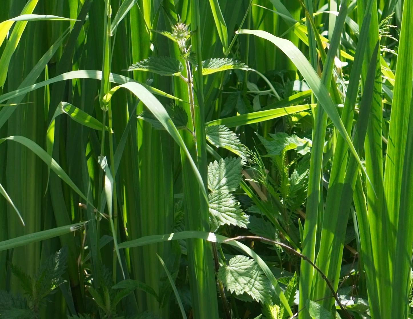 Grass-Crop
