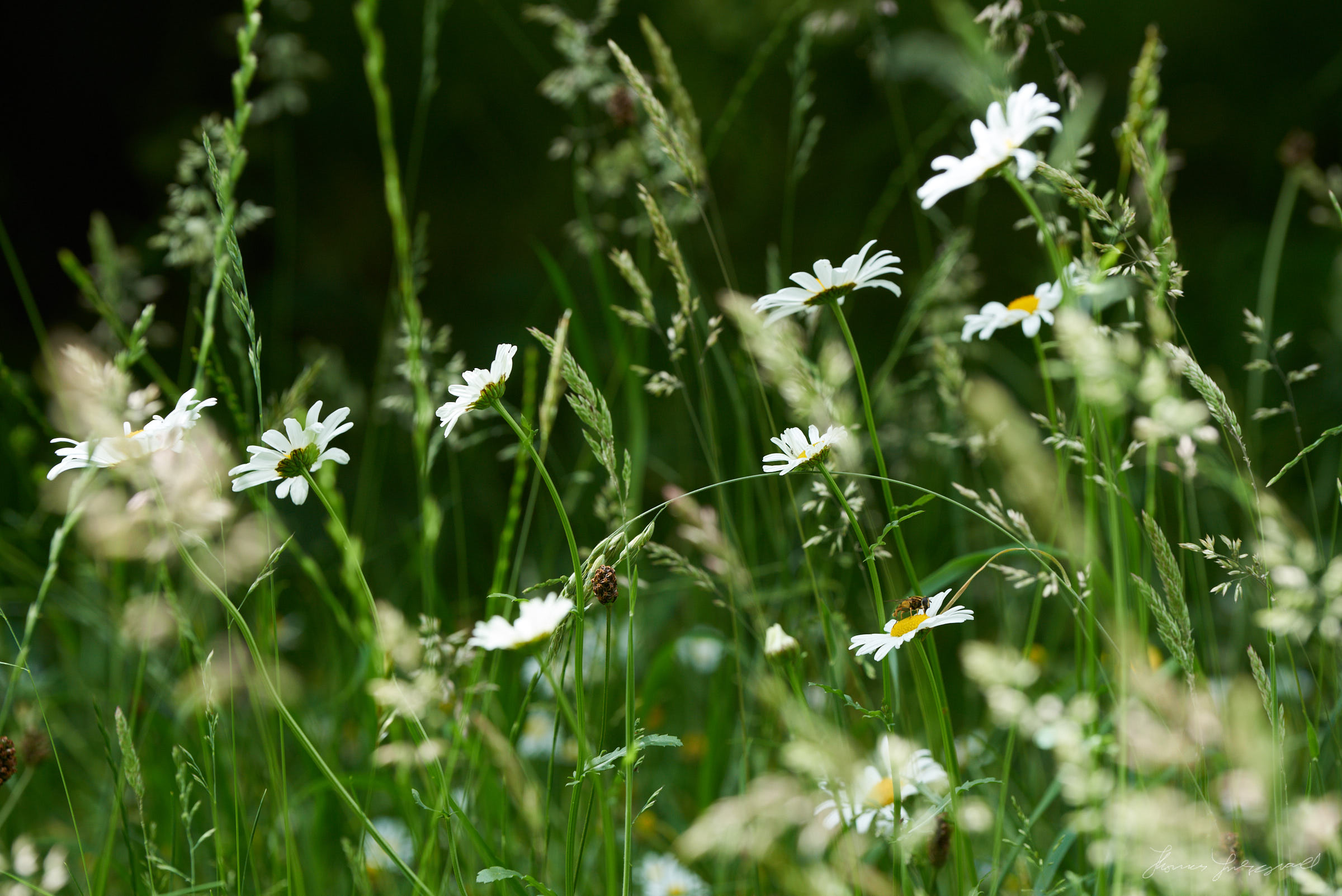 A close up of large white flower daisies in the long summer grass