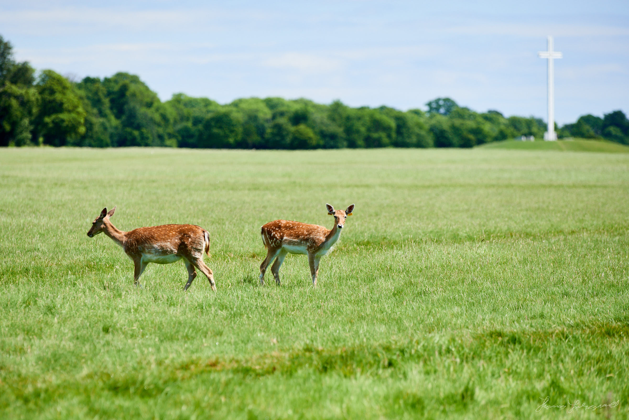 Two Deer in Pheonix Park in the centre of Dublin, with the cross from the visit of the  pope in the background