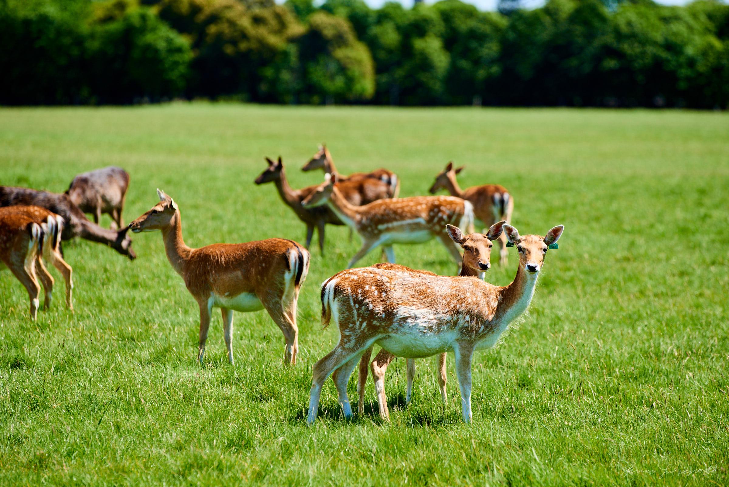 Deer in Pheonix Park in the centre of Dublin