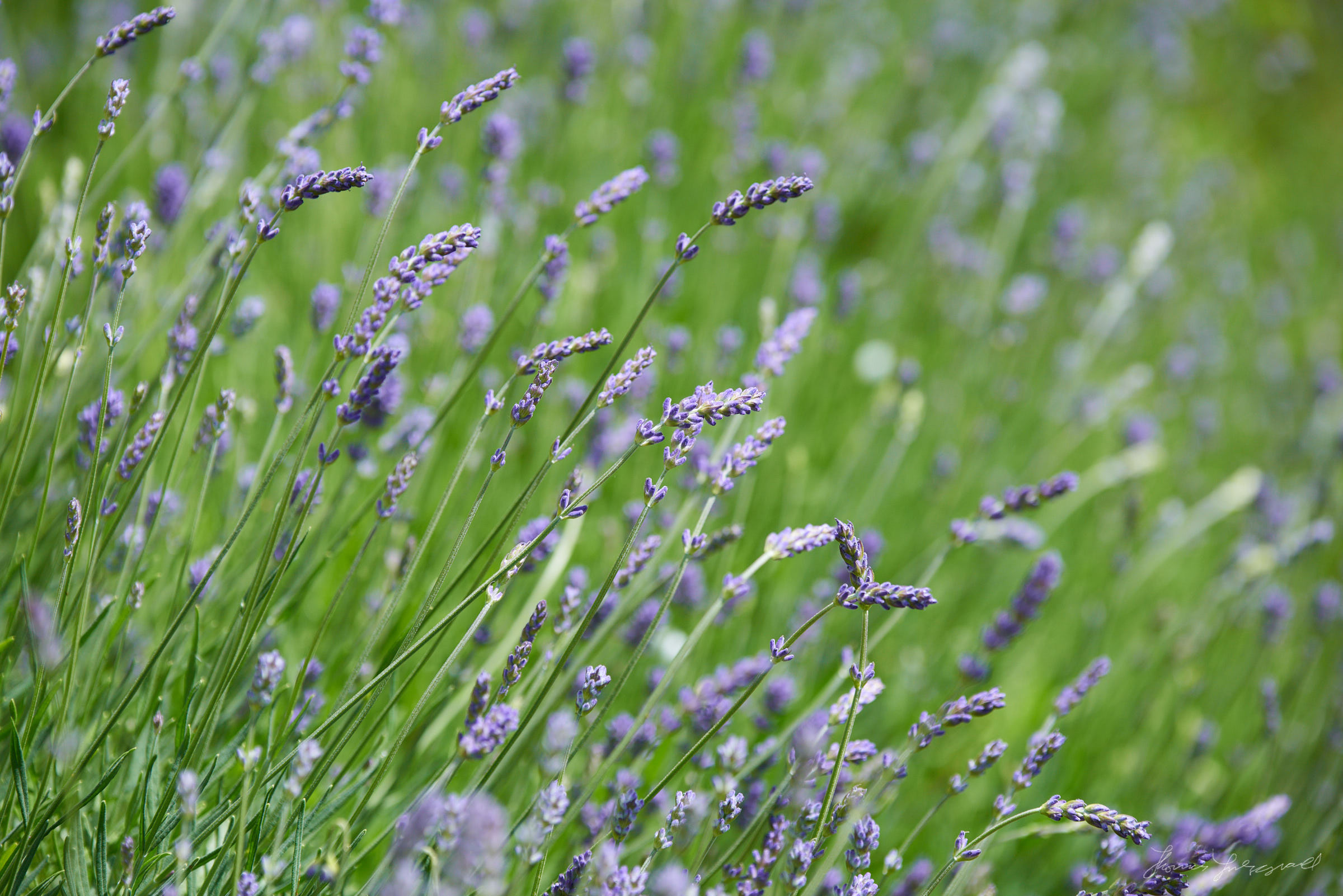 Close up images of lavender with a narrow depth of field and lots of bokeh