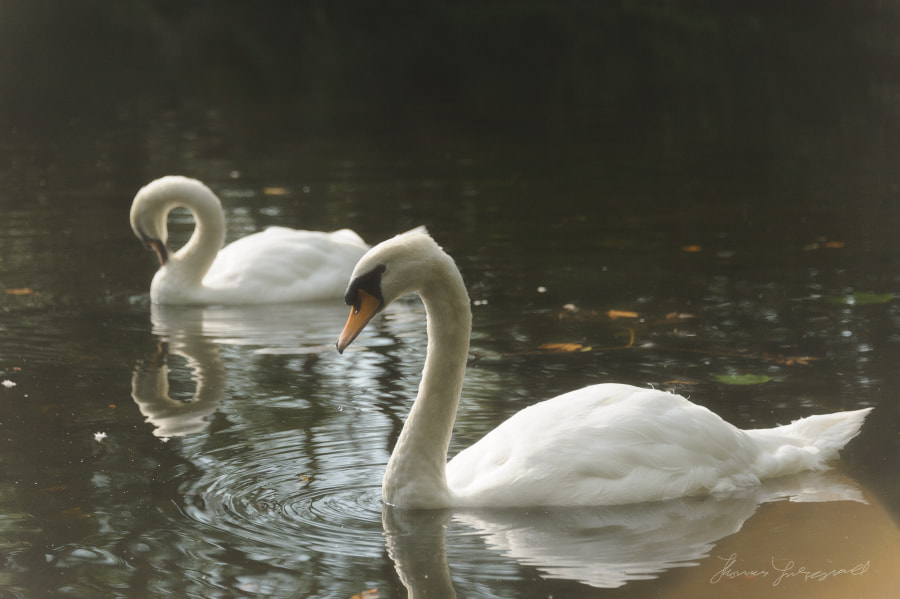 Swans on a misty pond