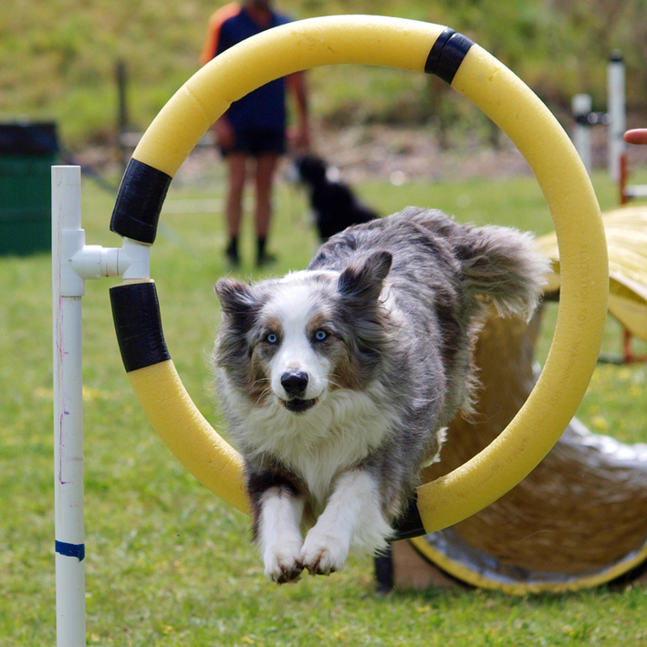 Agility dogs need to be in peak athletic condition
